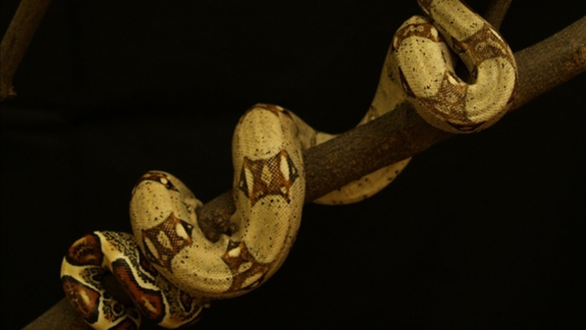 A boa constrictor slithers up a tree.