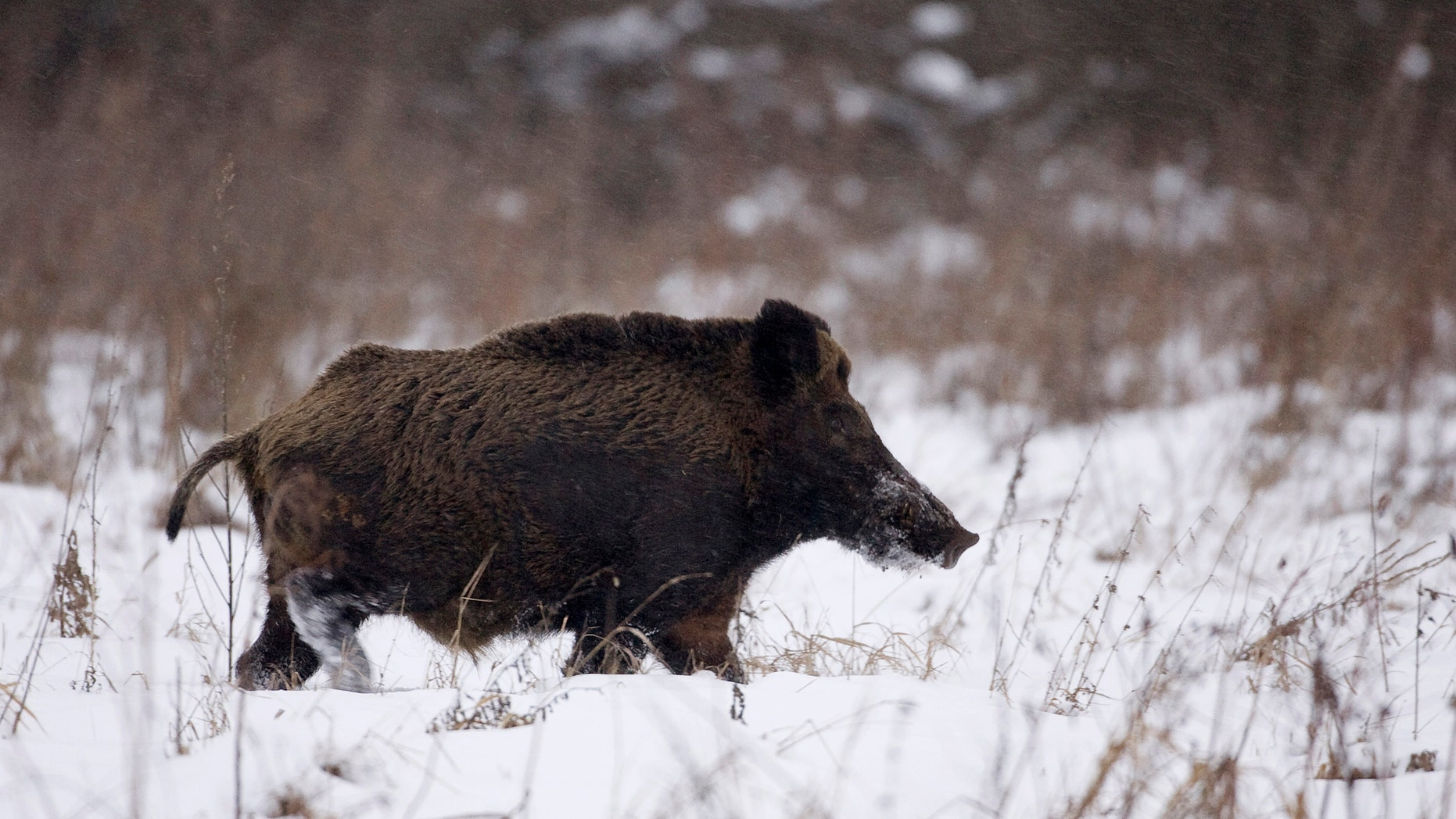 File photo - a wild boar runs in the 18 miles exclusion zone around the Chernobyl nuclear reactor near the village of Babchin, some 217 miles southeast of Minsk, January 9, 2009. (REUTERS/Vasily Fedosenko)