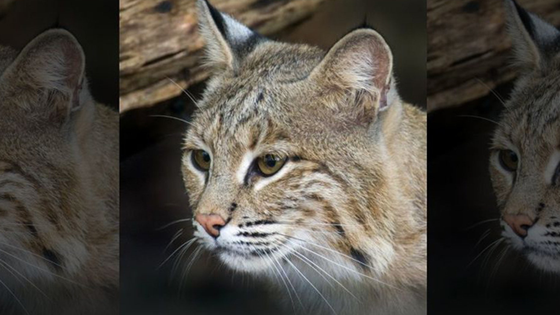 Bobcats are not known to be aggressive to humans, according to experts.