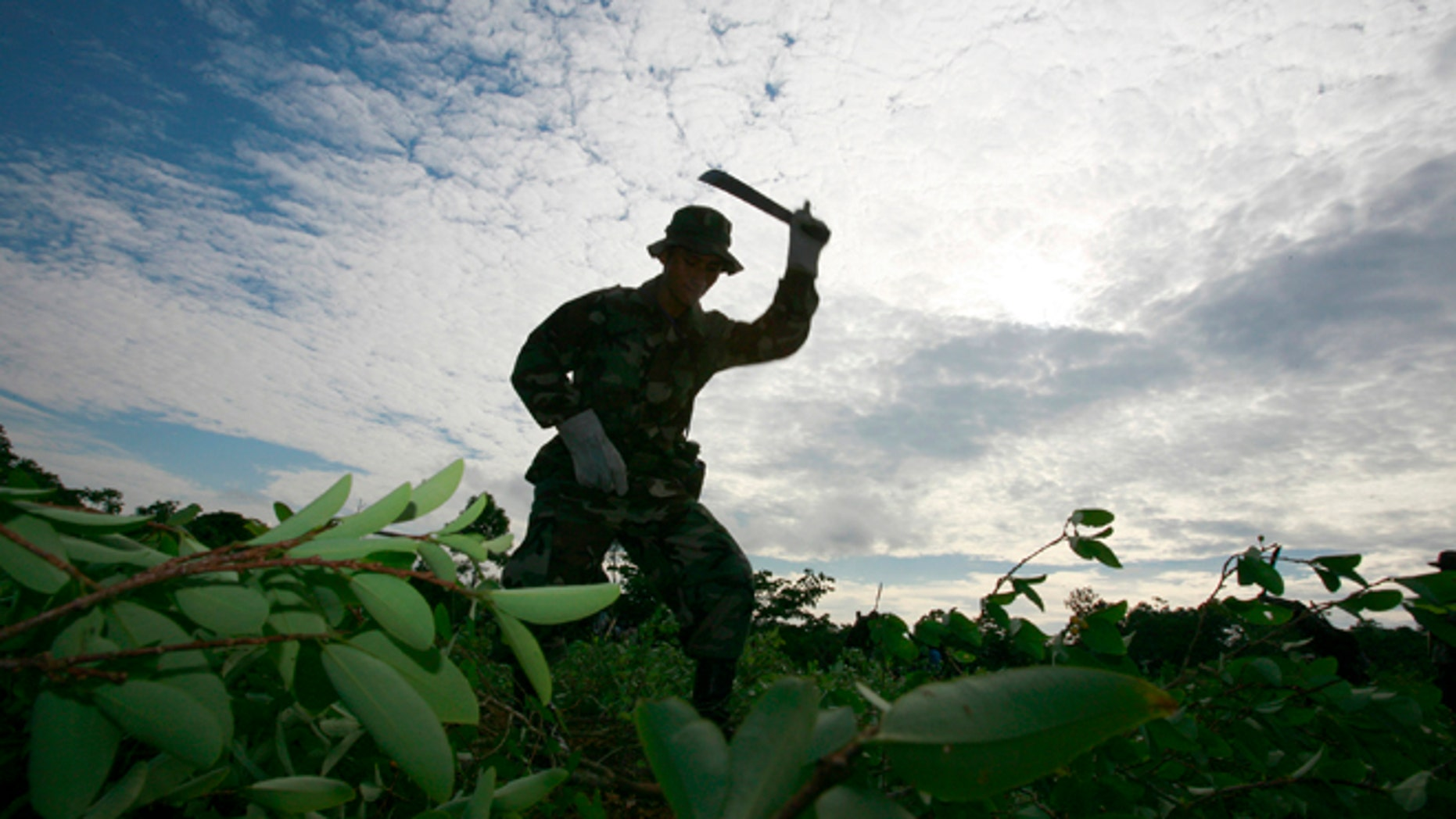 A member of Bolivian combined forces from the police and army chops down illegal coca plants near Chimore, some 373 miles southeast of La Paz.