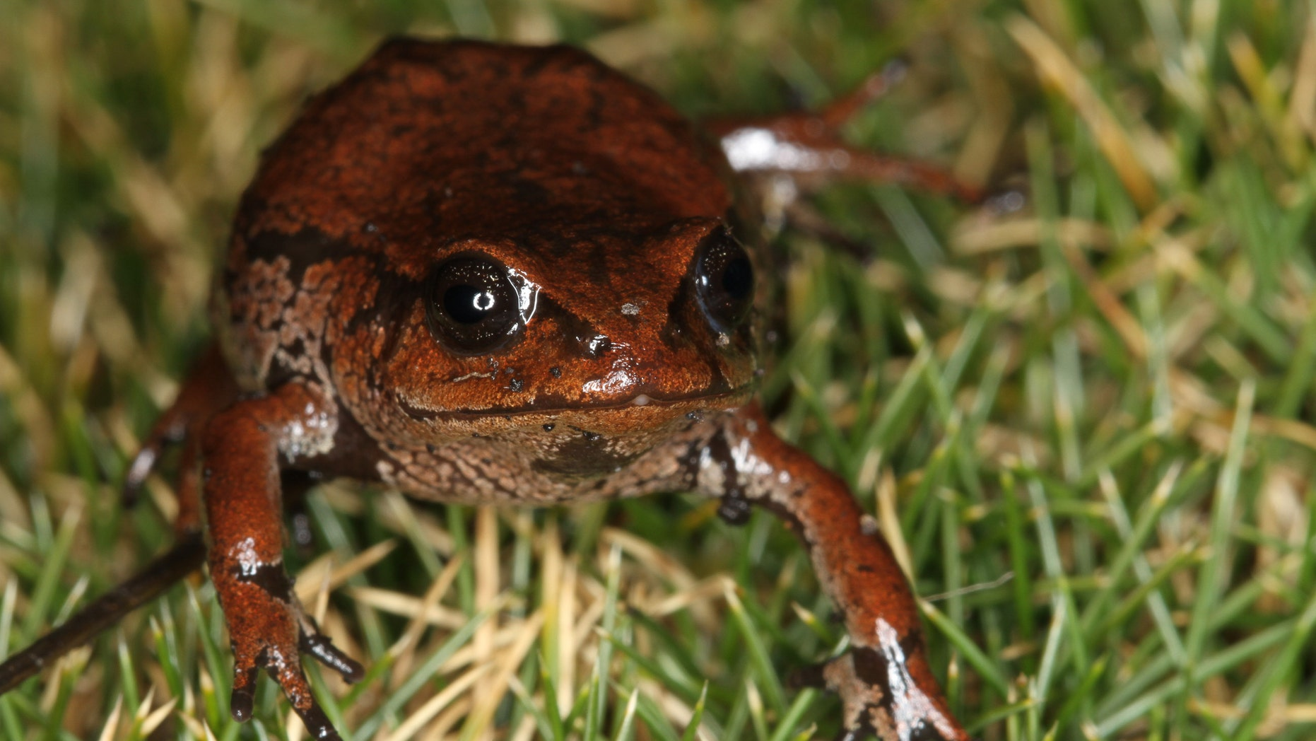 A newly-discovered frog species from the  Psychrophrynella  genus, found in Madidi  National Park. (Photo credit: Robert Wallace-WCS)