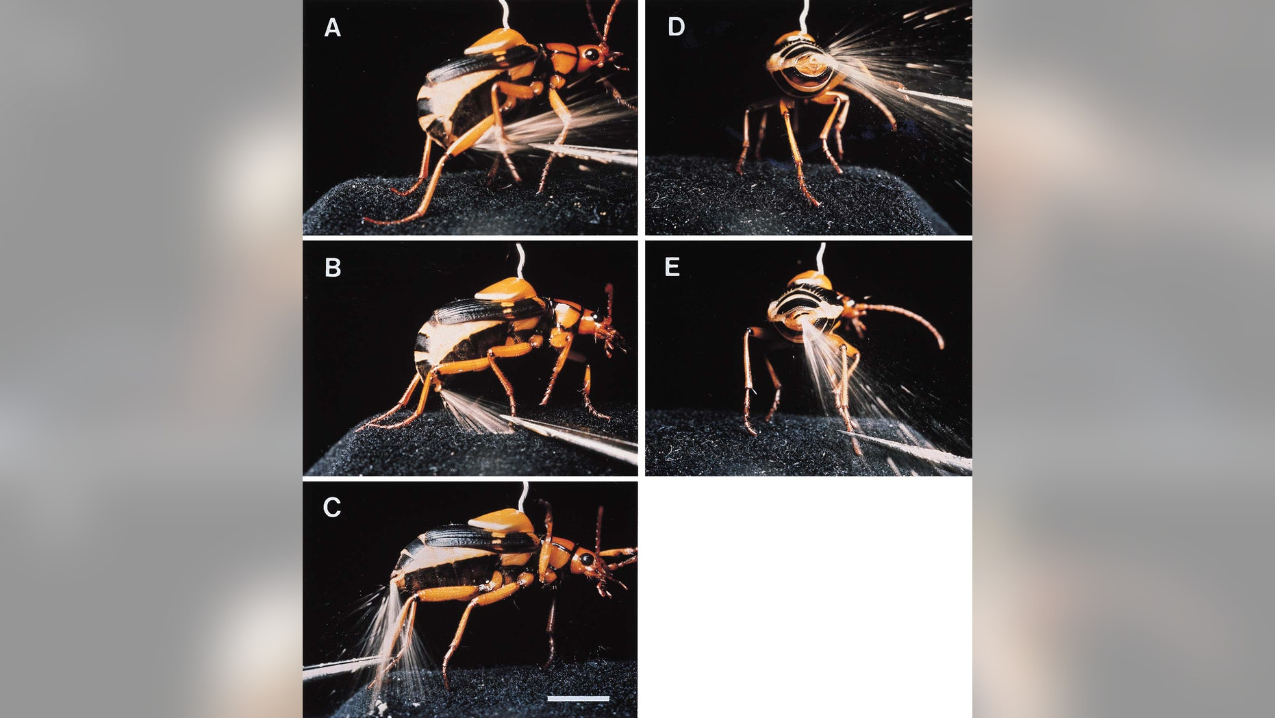 """File photo: In 1999, scientists released these photographs of a Bombardier beetle spraying a boiling hot, toxic fluid from the tip of its abdomen. The bombardier beetle of Africa, has evolved the useful defense """"as a means for 'buying time' when under attack,"""" according to researchers. (Credit: Reuters)"""