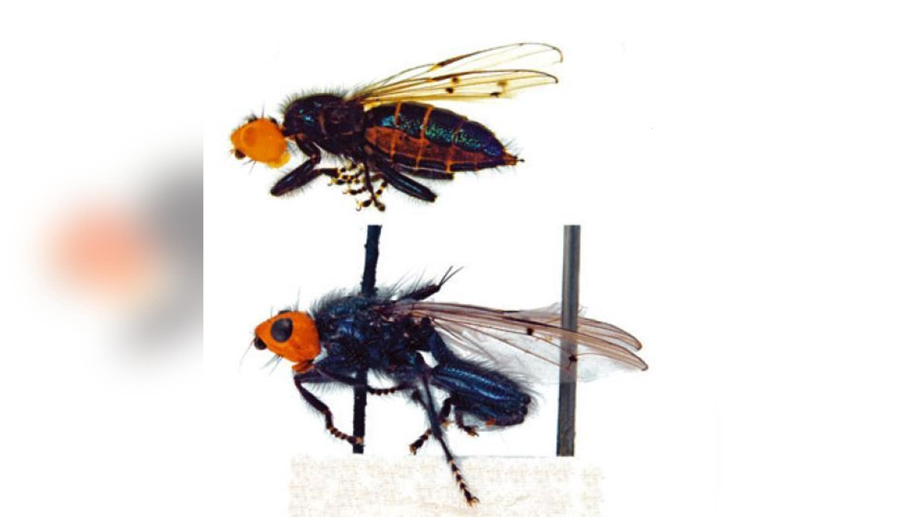 A species of bone-skipper, Thyreophora cynophila, which was first discovered in Mannheim, Germany, in 1798. They had been thought to be extinct for about 160 years before being found again in Spain in 2010. Top: female fly. Bottom: male.