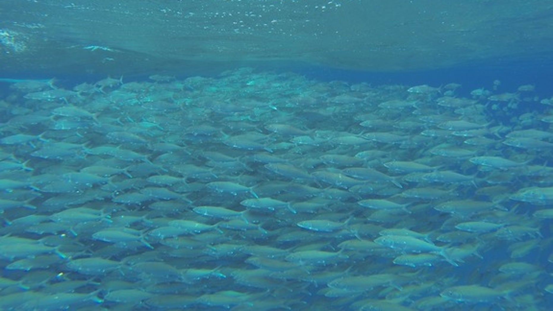 Bonefish gather by the thousands to spawn in the Bahamas.