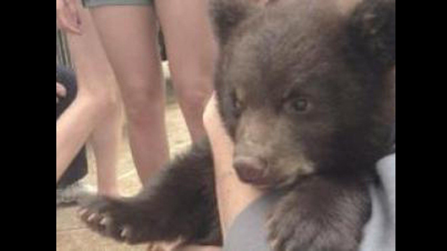Boo Boo the bear cub, shown here, is now living at the St. Louis zoo.