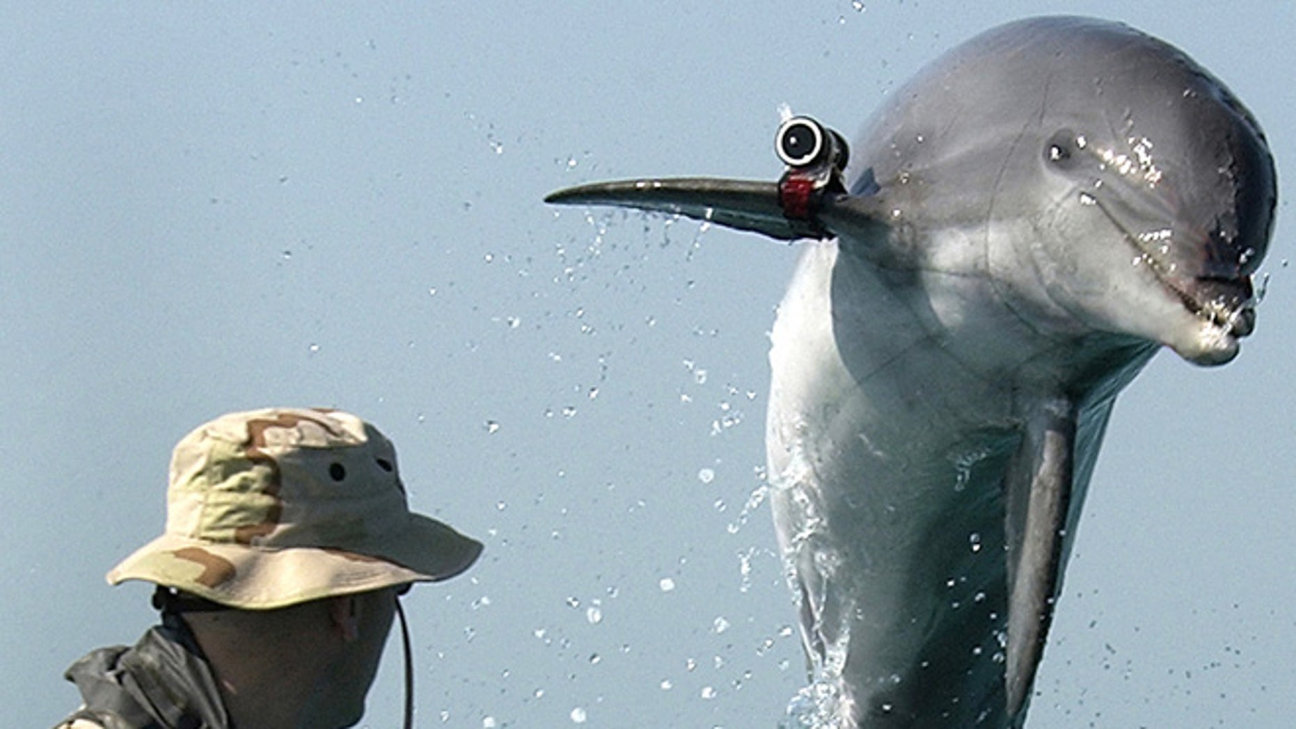 """Mar. 18, 2003: A bottle nose dolphin trained by the U.S. Navy to detect mines leaps out of the water in front Sgt. Andrew Garrett while training near the USS Gunston Hall (LSD 44) in the Arabian Gulf. Attached to the dolphin's pectoral fin is a """"pinger"""" that allows the handler to keep track of the dolphin when out of sight."""