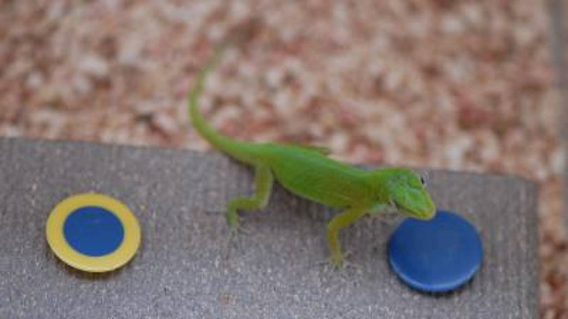 """Puerto Rican anoles were tested on a food-finding apparatus normally used on birds. The lizards showed they could solve a novel problem, remember solutions and """"unlearn"""" incorrect approaches."""