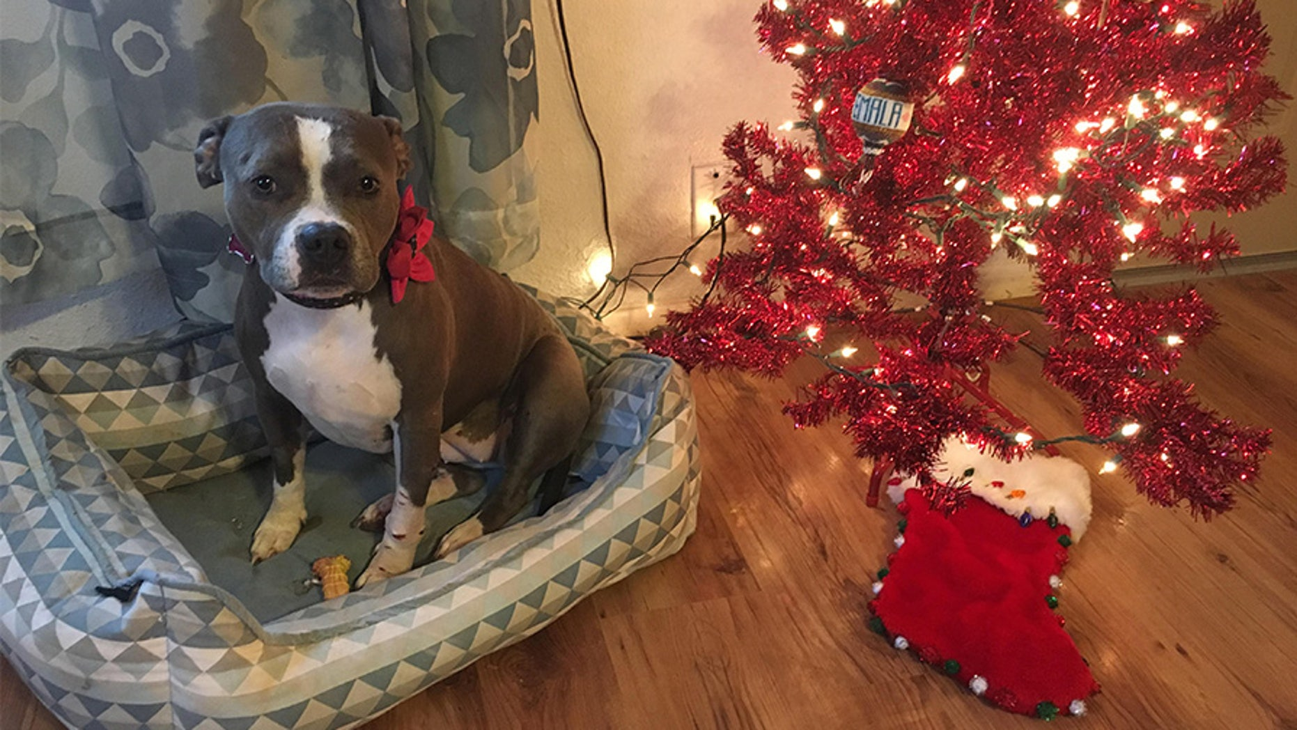 An Army vet's beloved 3-year-old pit bull, Bridget, was stolen from his house five days before Christmas.