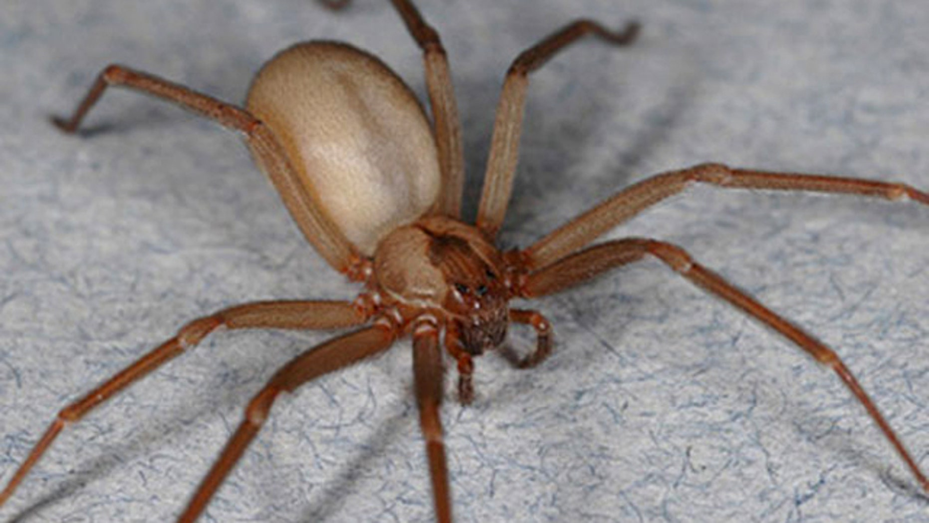 Brown recluse spiders exist within a smaller range than many realize, and their existence may be threatened by climate change.