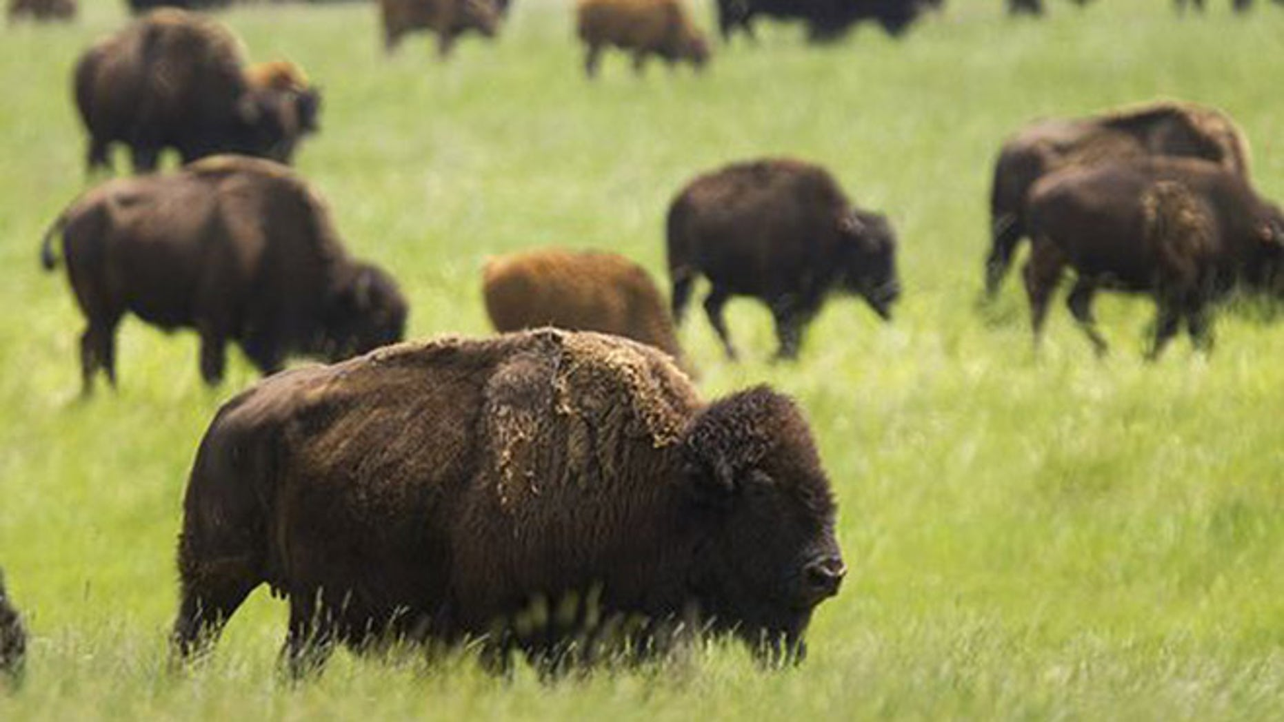 Congress Votes To Designate Bison As National Mammal Fox News