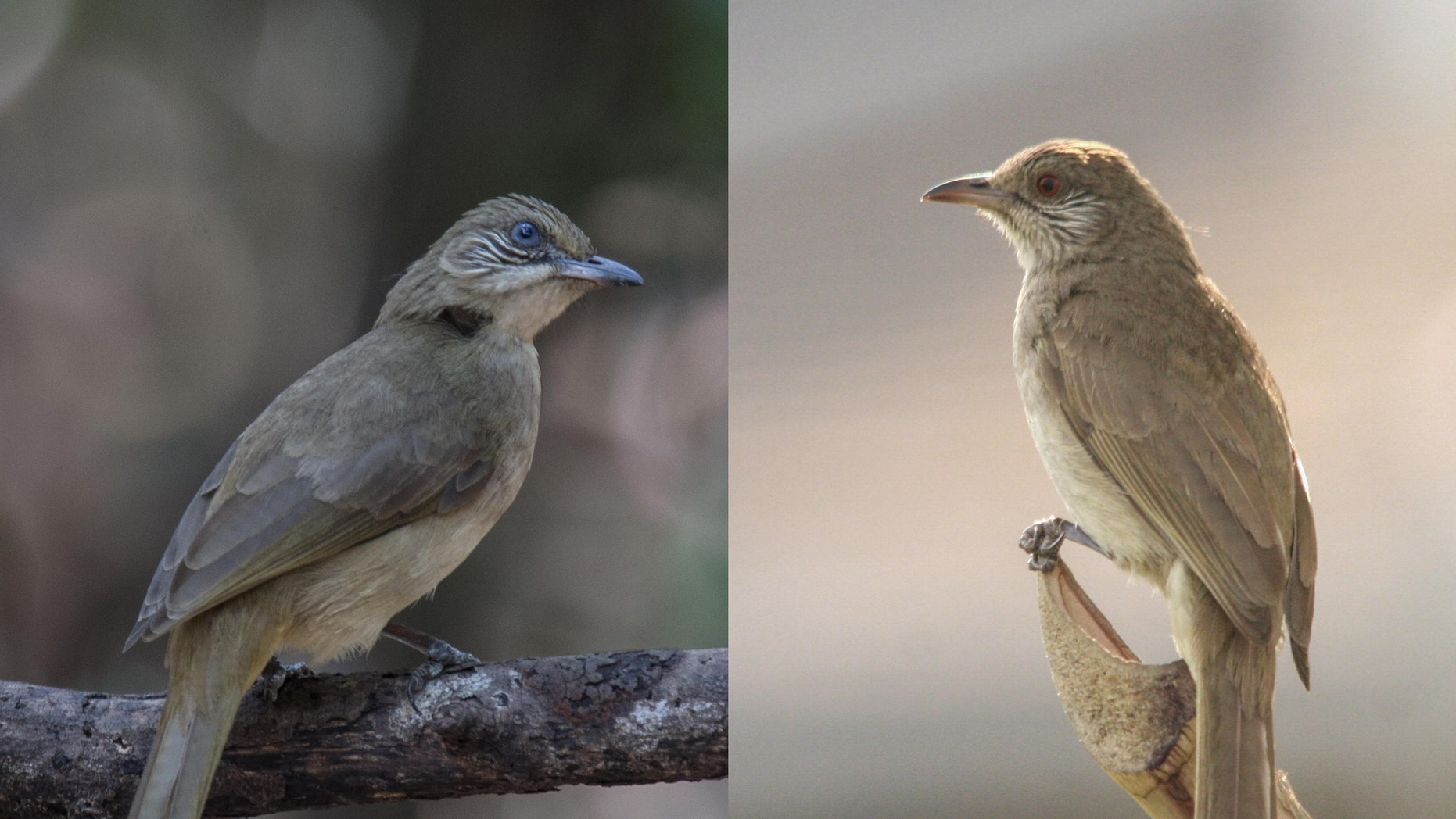 These two types of bulbul are actually different species, the Wildlife Conservation Society says. On the left is the one native to Thailand, and on the right, Myanmar.