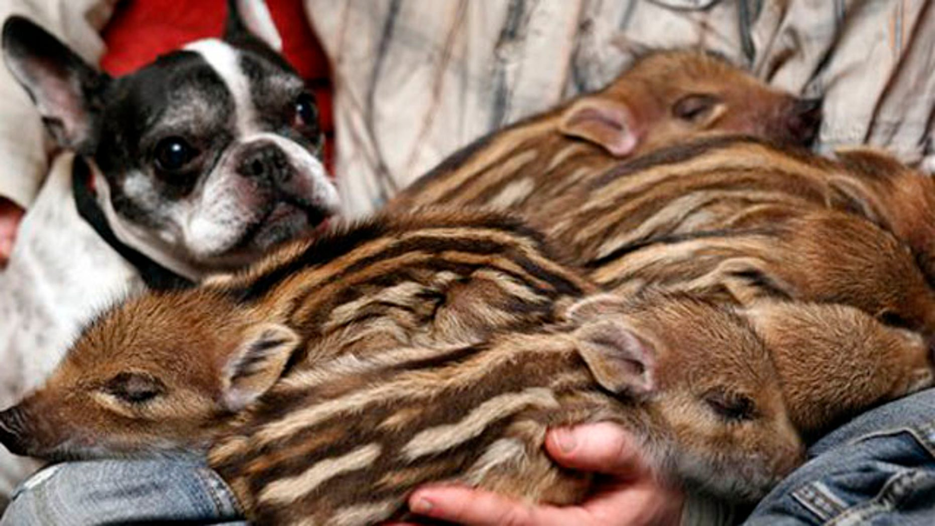Feb. 15, 2012: French bulldog named Baby, left, attends the feeding of wild boar piglets at the Lehnitz animal sanctuary outside Berlin, Germany.