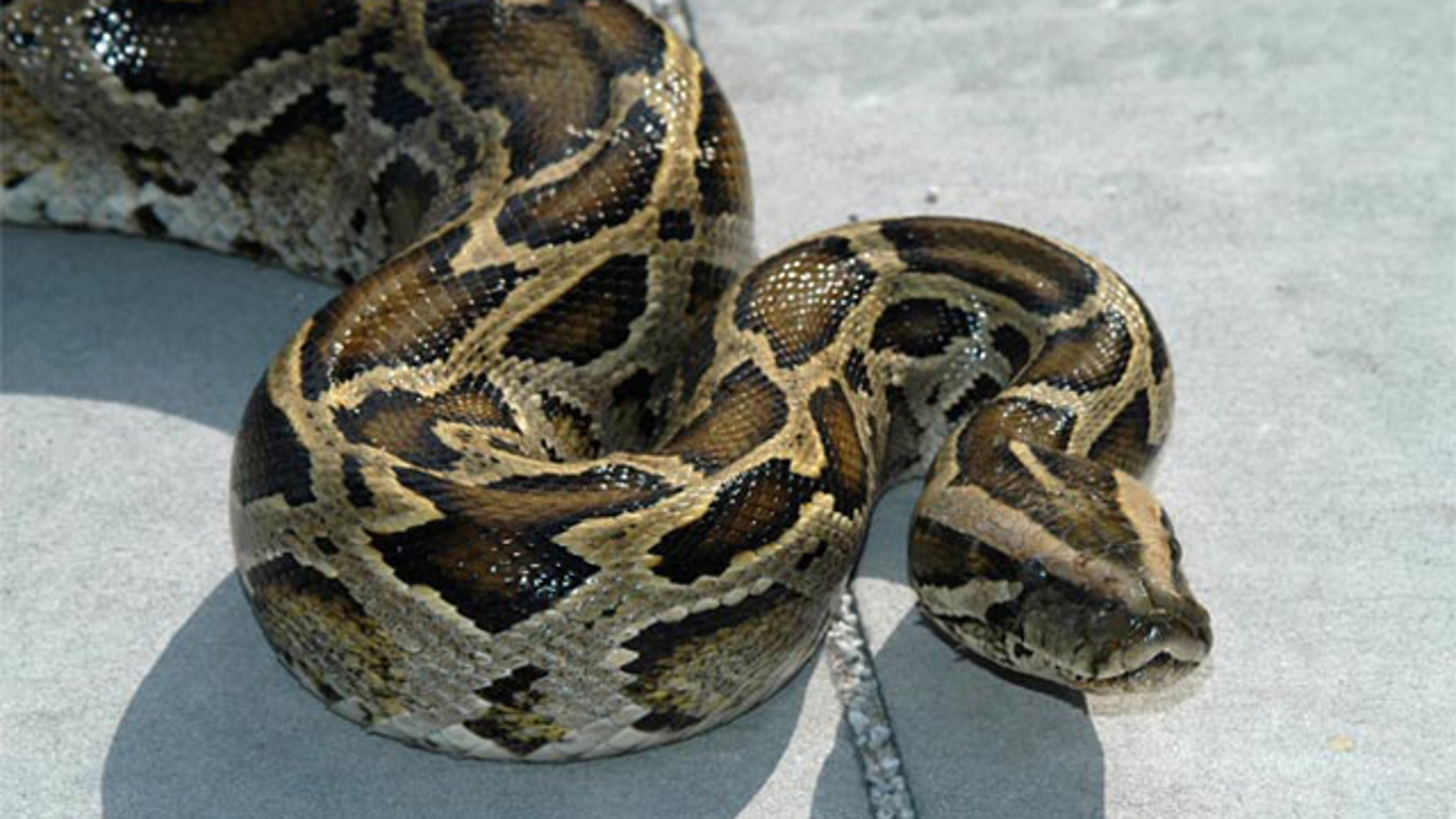 Burmese pythons, one of the largest snake species on Earth, are breeding in the Everglades National Park and spreading rapidly. Nearly 1,000 pythons have been removed from the park and surrounding areas since 2002, according to the National Park Service.
