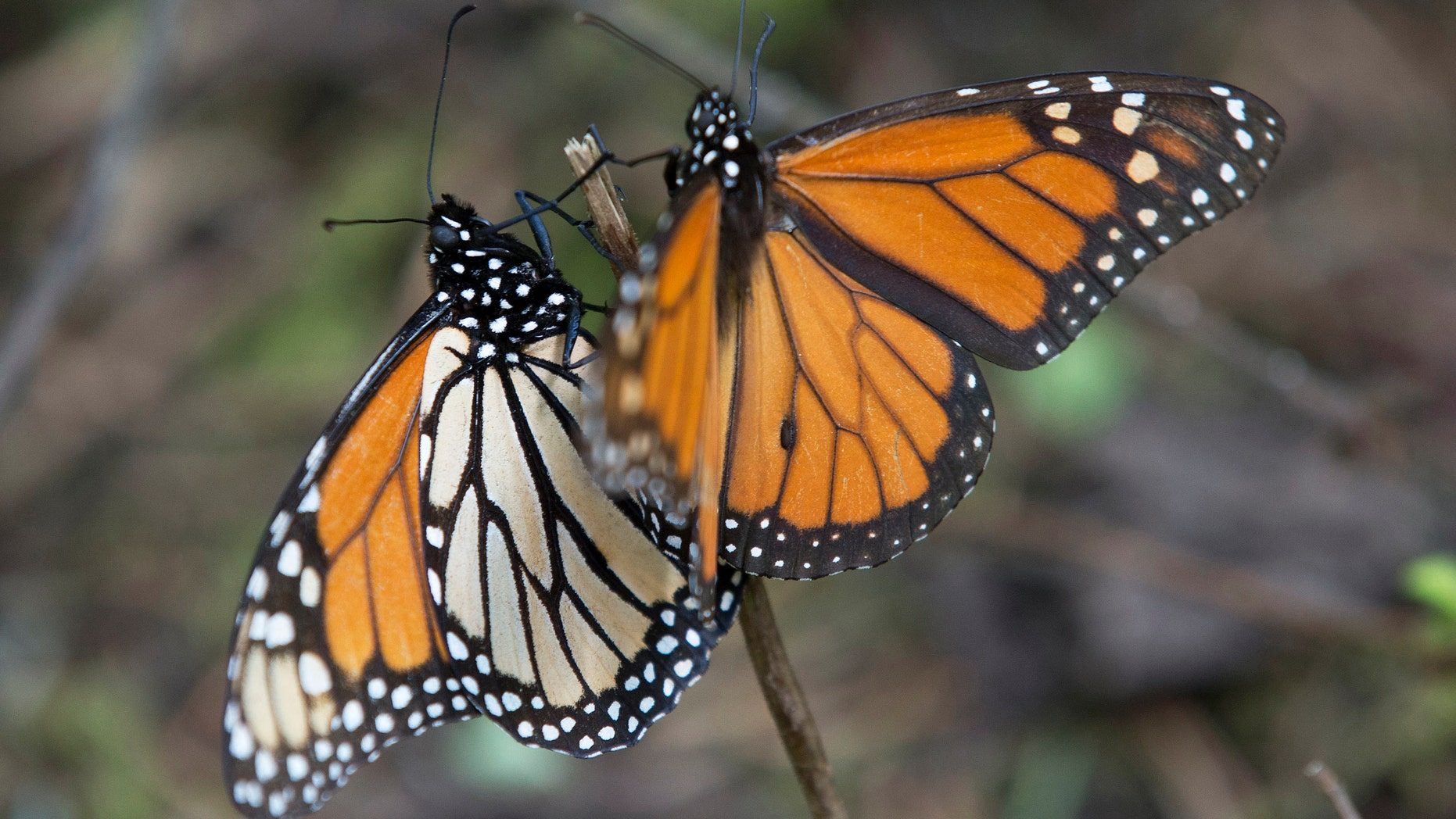 FILE - In this Jan. 4, 2015 file photo, Monarch butterflies perch on a twig at the Piedra Herrada sanctuary, near Valle del Bravo, Mexico. The number of Monarch butterflies that reached wintering grounds in Mexico has rebounded 69 percent from last yearâs lowest-on-record levels, but their numbers remain very low, according to a formal census by Mexican environmental authorities and scientists released Tuesday, Jan. 27, 2015. (AP Photo/Rebecca Blackwell, File)