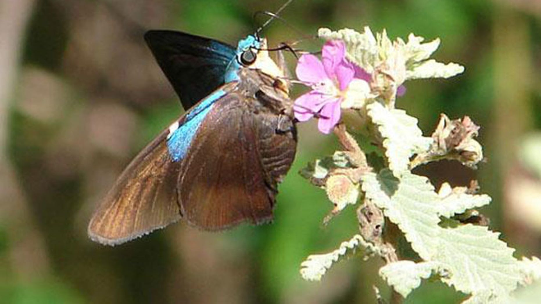 These large black and iridescent blue skipper butterflies are only found in Cuba and Andros Island, Bahamas -- and in Guantanamo Bay, scientists say.