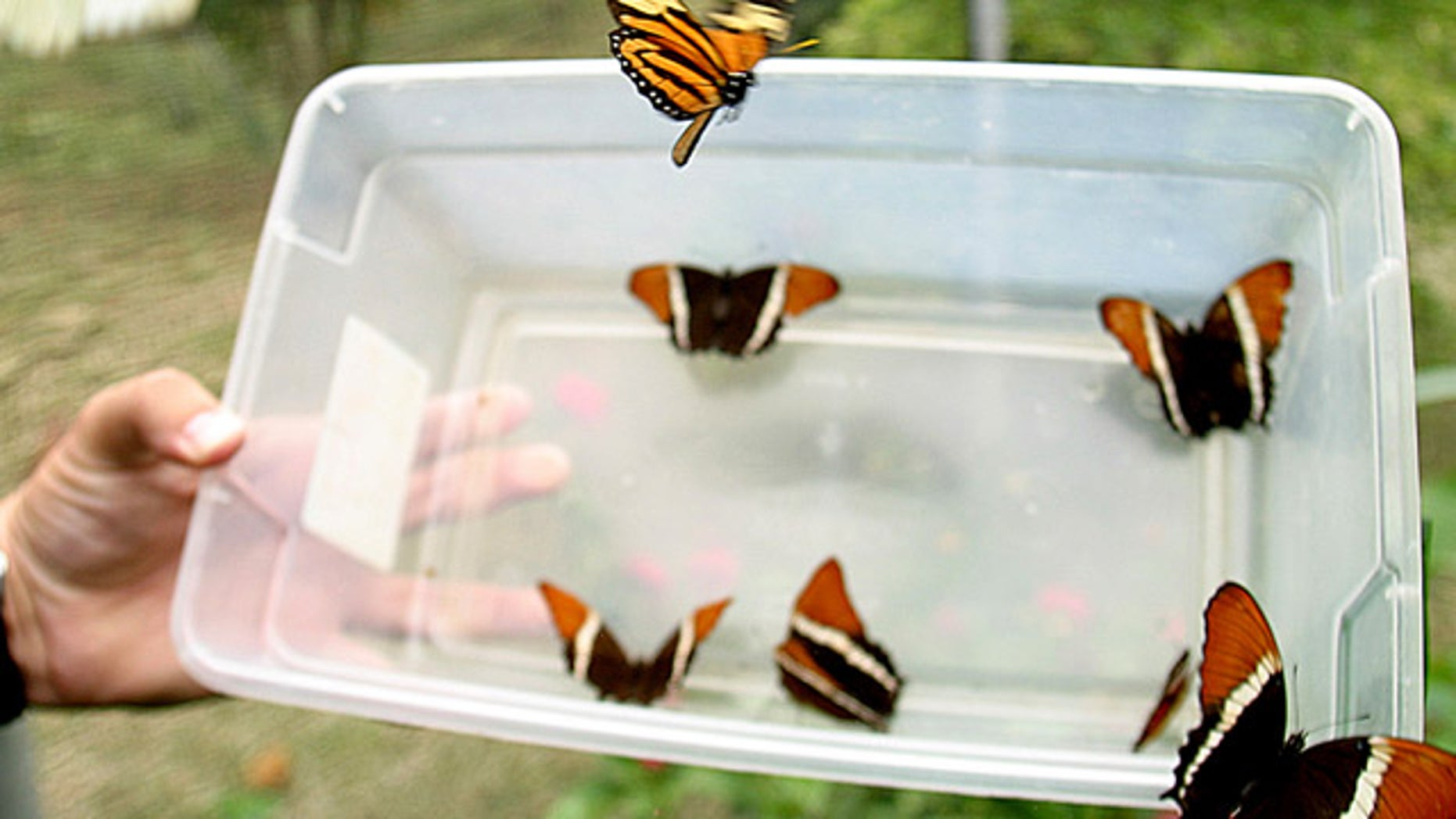Butterflies are released in Colombia.