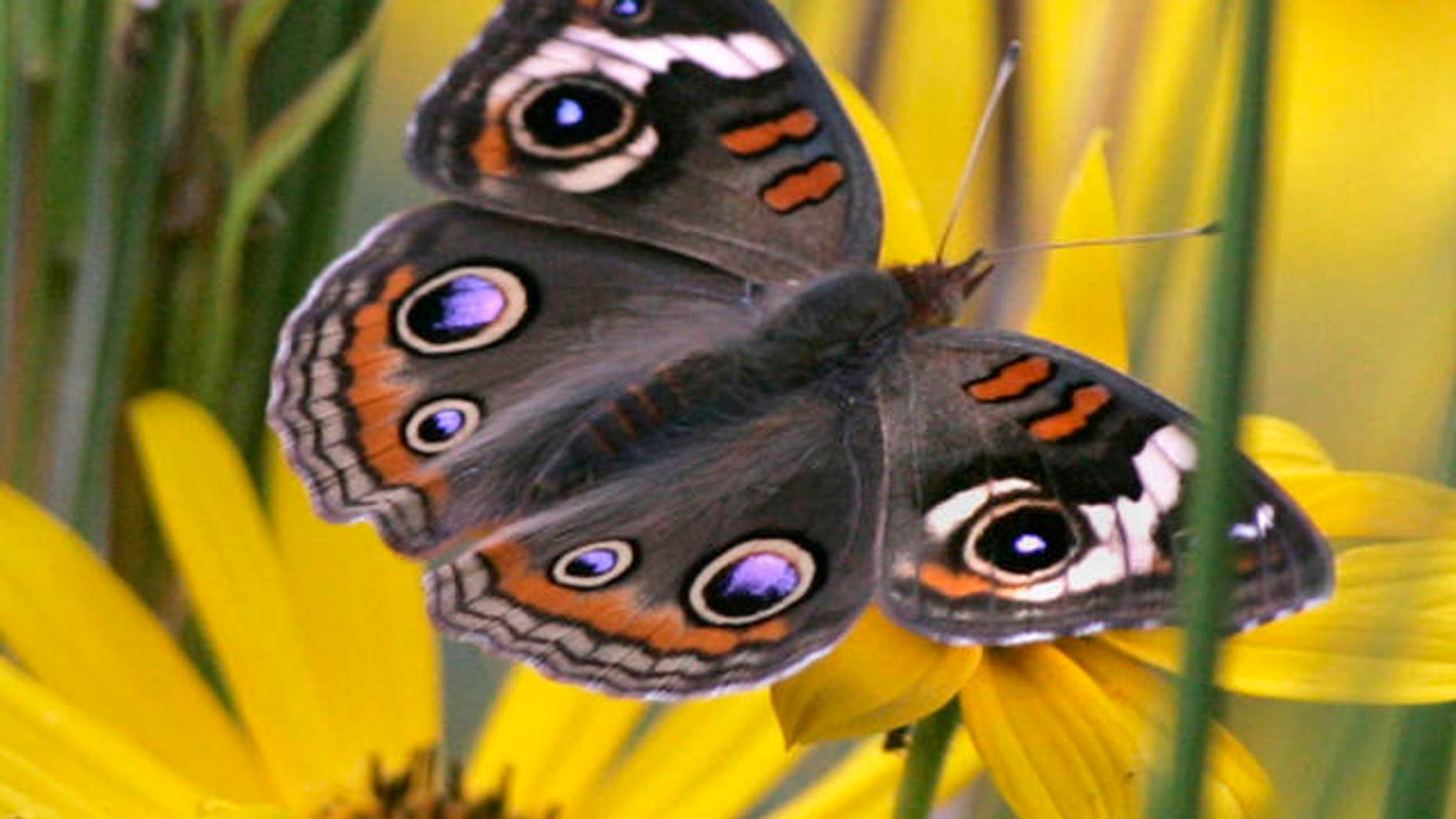 Oct. 10, 2007: A buckeye butterfly rests among the wild flowers as he feeds on the plant's nectar, in Hosford, Fla.