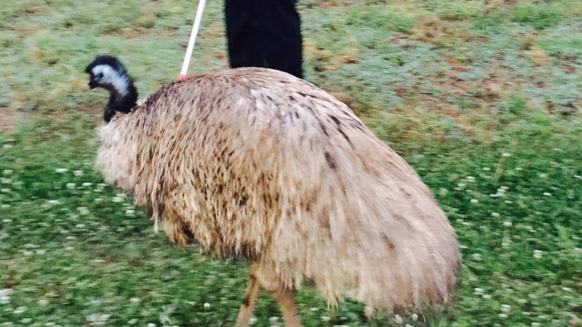 In this photo provided by the Douglas County (Ga.) Sheriff's Office, a handler holds on to an emu that wandered onto Interstate 20 west of Atlanta and slowed traffic, Tuesday morning, May 19, 2015. Authorities said the bird escaped from a private owner's property. (Alex Roman/Douglas County Sheriff's Office via AP)