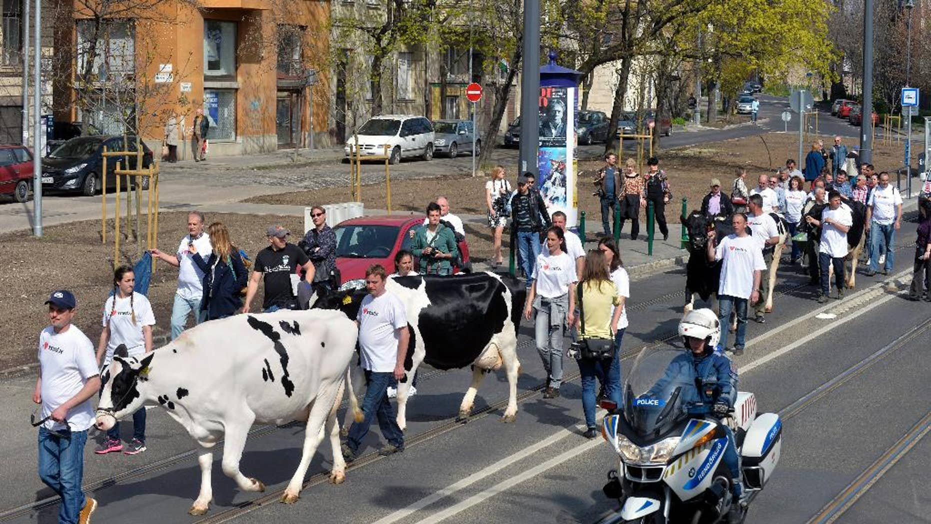 Participants of the dairy farmers demonstration march with their cows in the Becsi Street on their way towards the National Tax and Customs Officein Budapest, Hungary, Monday, April 4, 2016. They protested against cheap imports and tax evasion which they say are destroying fair competition and blocking their access to local markets. (Zoltan Mathe/MTI via AP)