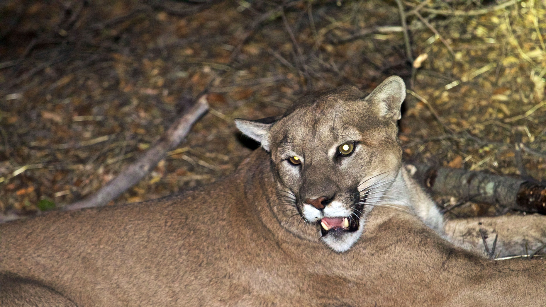 The mountain lion known as P-45 is pictured in Malibu, California.