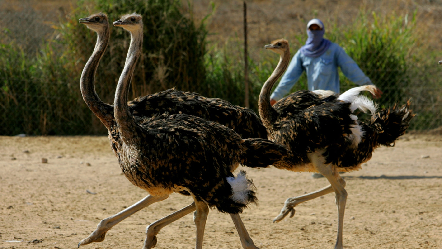 TSEELIM, ISRAEL - OCTOBER 27:  A worker tries to catch 4-month-old ostrich chicks for vaccination against influenza and Newcastle disease at the Van Grevenbroek family farm October 27, 2005 at Tseelim, Southern Israel. The farm, where some 10,000 birds are bred annually and slaughtered at the age of one year for their skin, feathers and meat, is the only one of its kind in Israel that exports almost all of its production to Europe, and is threatened with the loss of its international markets if the H5N1 Avian Flu virus strikes Israel.  (Photo by David Silverman/Getty Images)