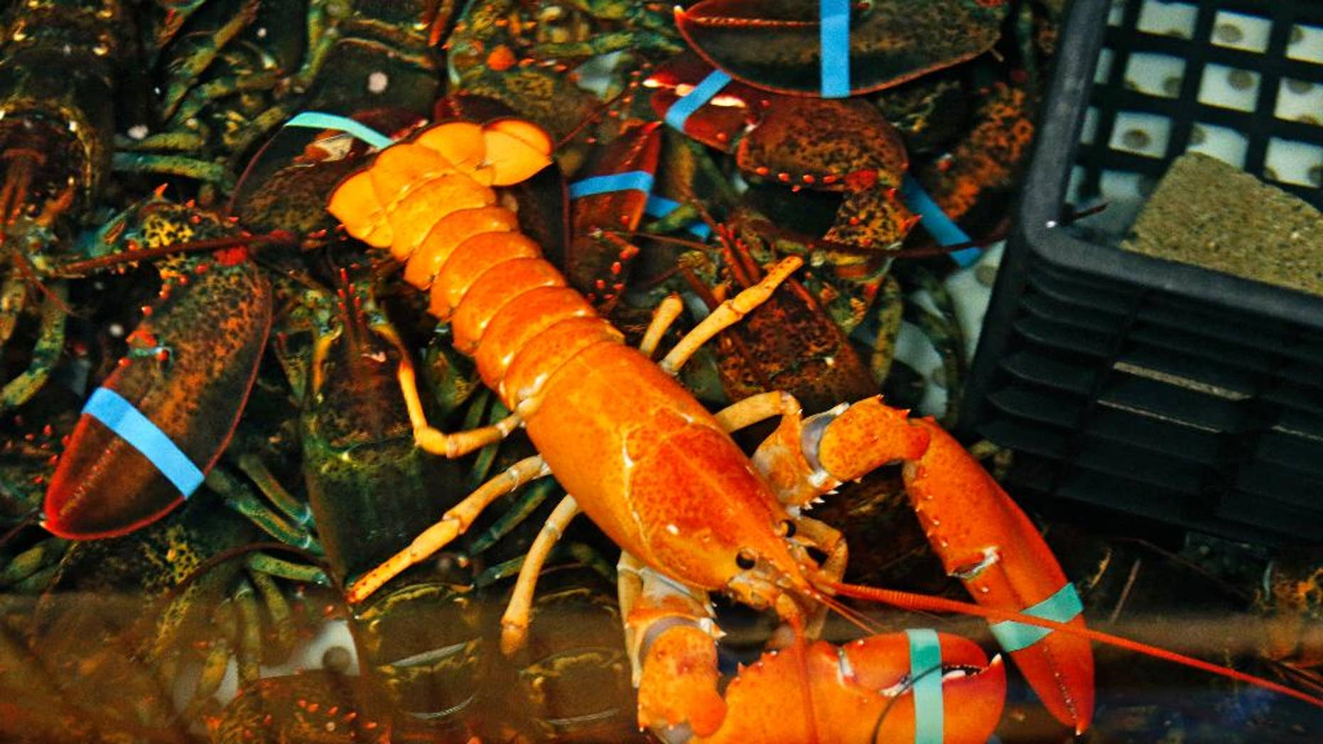 A rare bright orange lobster shares the tank with regular lobsters at the Fisherman's Catch Seafood restaurant in Raymond, Maine, Thursday, July 23, 2015. Fisherman Bill Coppersmith, of Windham, Maine, caught the crustacean on Wednesday. Robert Bayer, executive director of The Lobster Institute at the University of Maine, says the odds of catching an orange lobster are one in several million. Coppersmith caught a white lobster in 1997; a one-in-100 million catch. (AP Photo/Robert F. Bukaty)