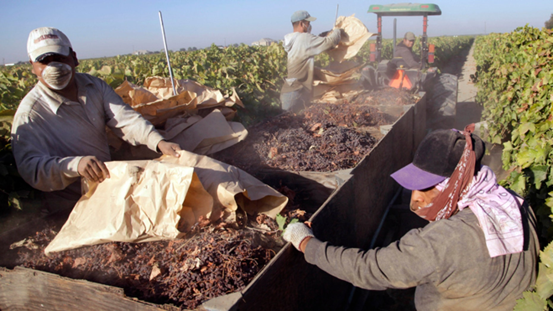 Sept. 24, 2013: In this file photo taken near Fresno, Calif., farmworkers pick paper trays of dried raisins off the ground and heap them onto a trailer in the final step of raisin harvest. Thousands of farmworkers in California, the nations leading grower of fruits, vegetables and nuts may soon be able to leave the uncertainty of their seasonal jobs for steady, year-around work building homes, cooking in restaurants and cleaning hotel rooms.