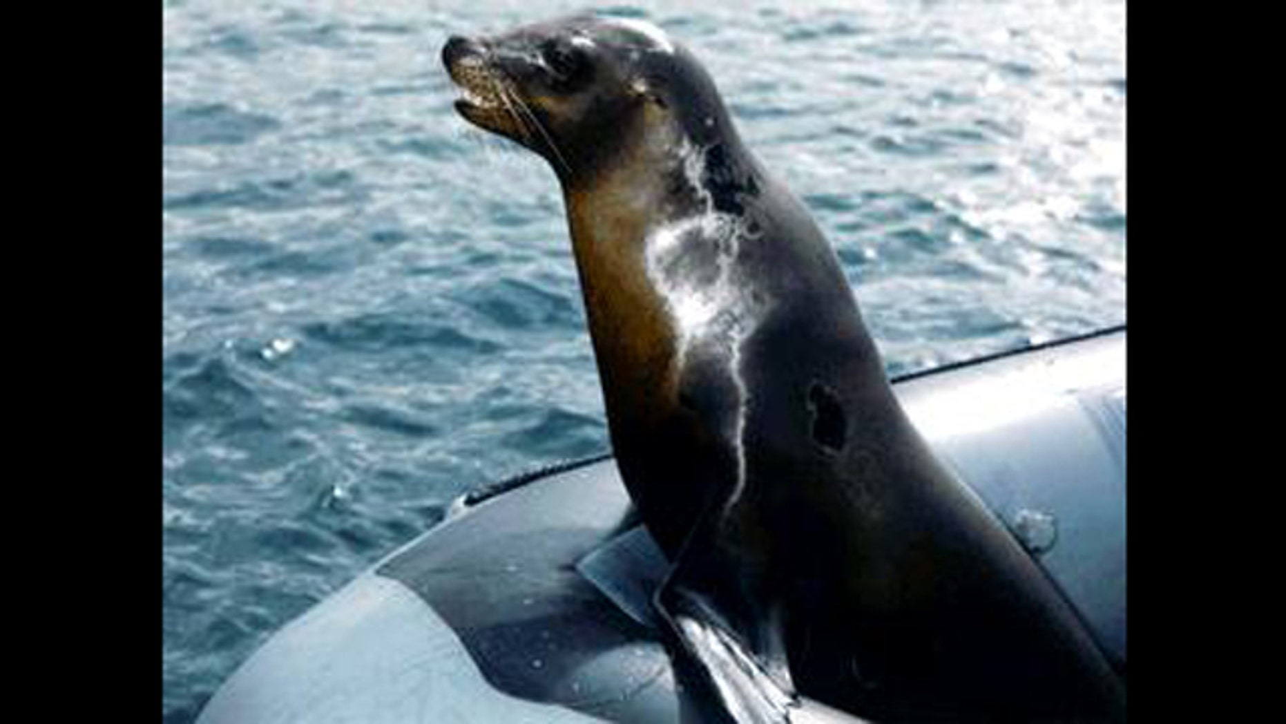 A sea lion rides in a boat, perhaps en route to a mine-detection mission.