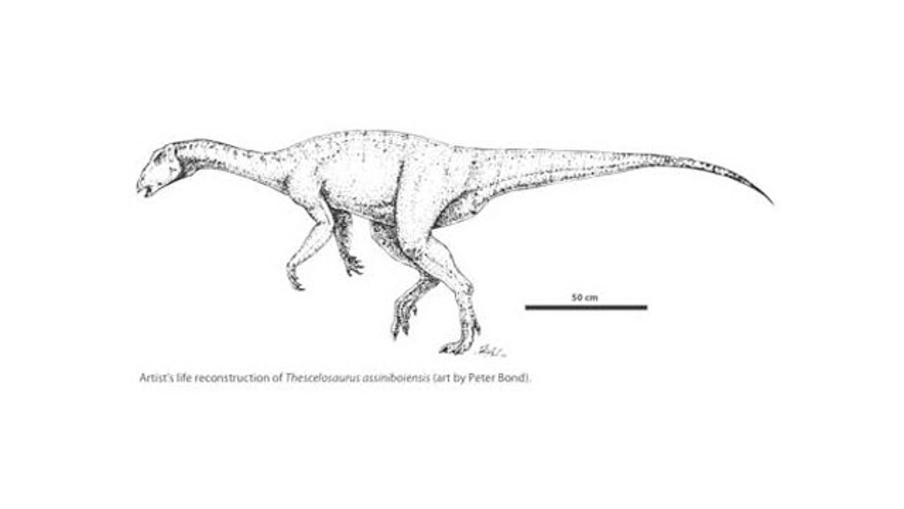 Research confirms that a partial skeleton discovered in Saskatchewan is a new species of plant-eating dinosaur, named Thescelosaurus assiniboiensis after Saskatchewan's historic District of Assiniboia in which it was found.