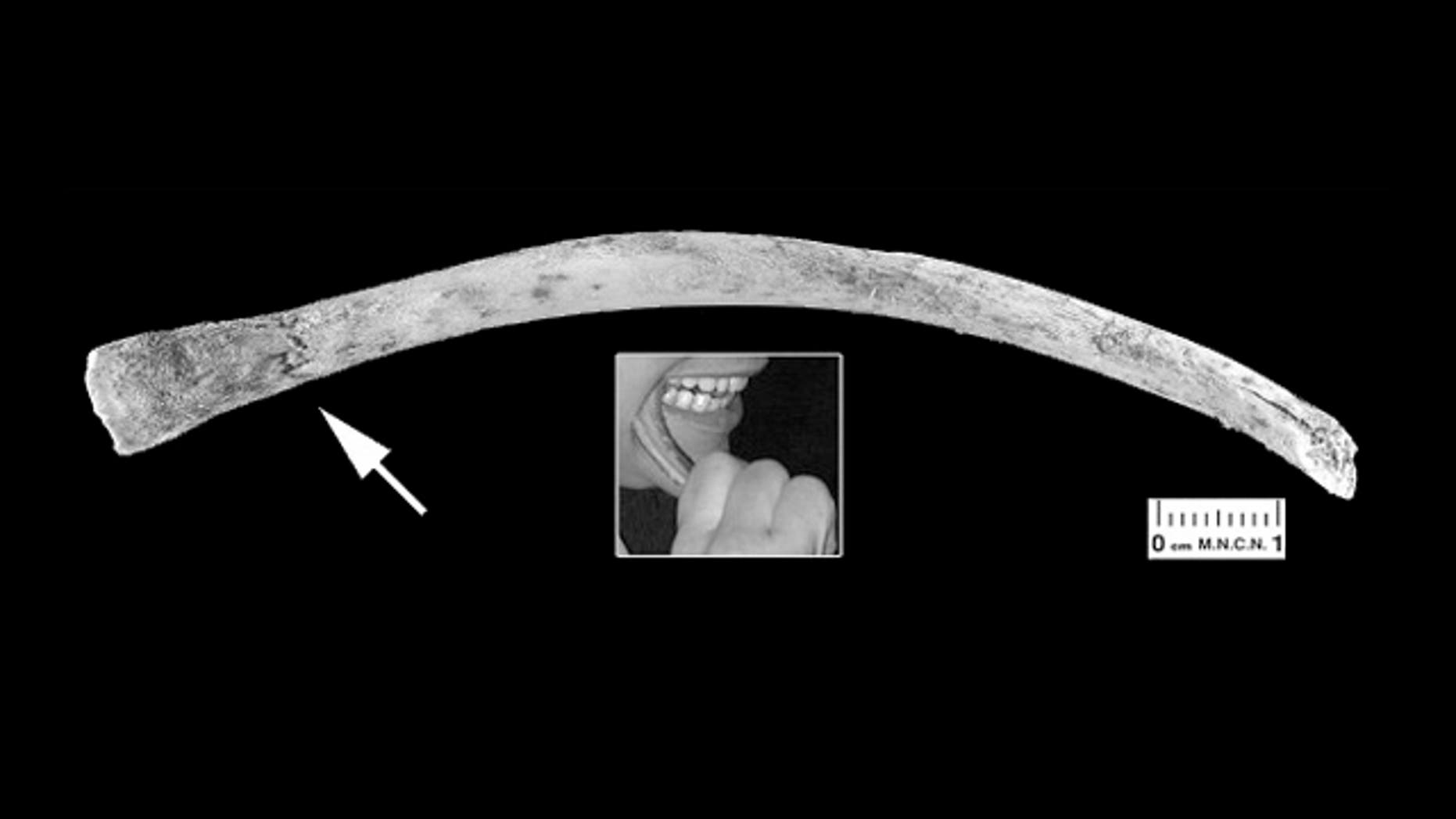 A rib fragment compressed and slightly bent at one end (white arrow) chewed by a European volunteer using the cheek teeth. The small inset shows one of the experimenters performing this action.
