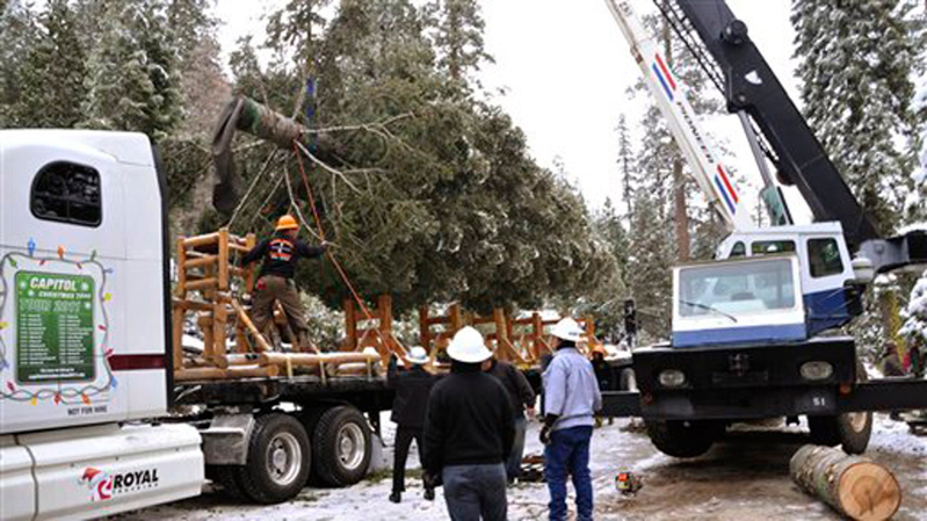 In this photo supplied by the Stanislaus National Forest, a 65-foot white fir tree is loaded onto a truck for its 20-day journey to Washington Saturday, Nov. 5, 2011, after the U.S. Capitol Christmas tree was cut from the Stanislaus National Forest near Sonora, Calif.