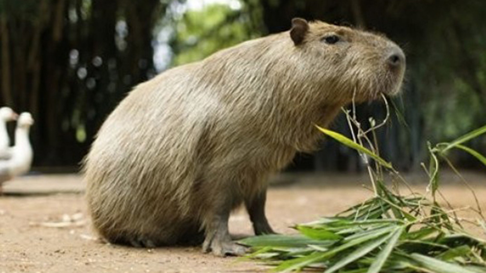 A capybara, also known as Carpincho in Spanish, eats a plant at the zoo in Asuncion, Paraguay, Friday Feb. 18, 2011. The capybara, Hydrochoerus Hydrochaeris, is a semi-aquatic rodent of South America.