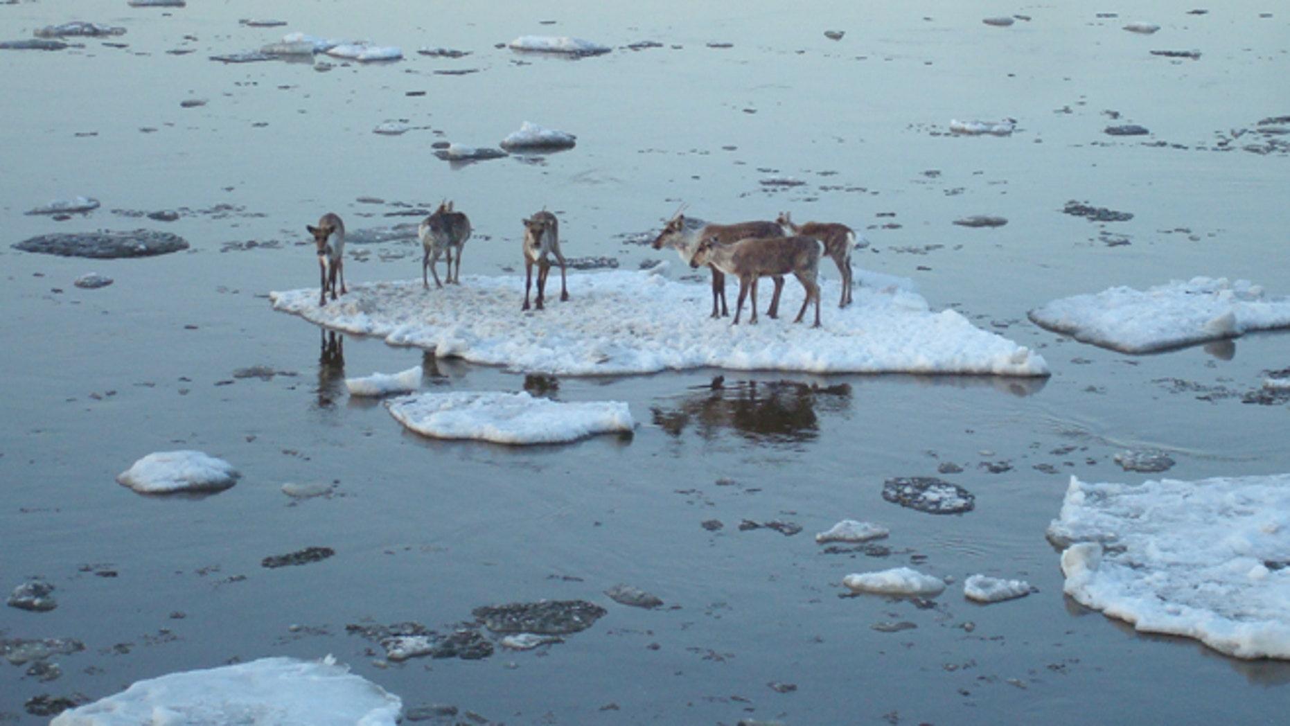 May 3: Caribou hitch a ride on an ice chunk in the Yukon River near Circle, Alaska.
