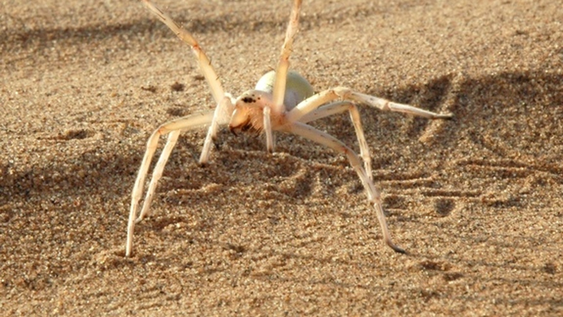 This agile spider (<em>Cebrennus rechenbergi</em>) cartwheels its way out of danger.