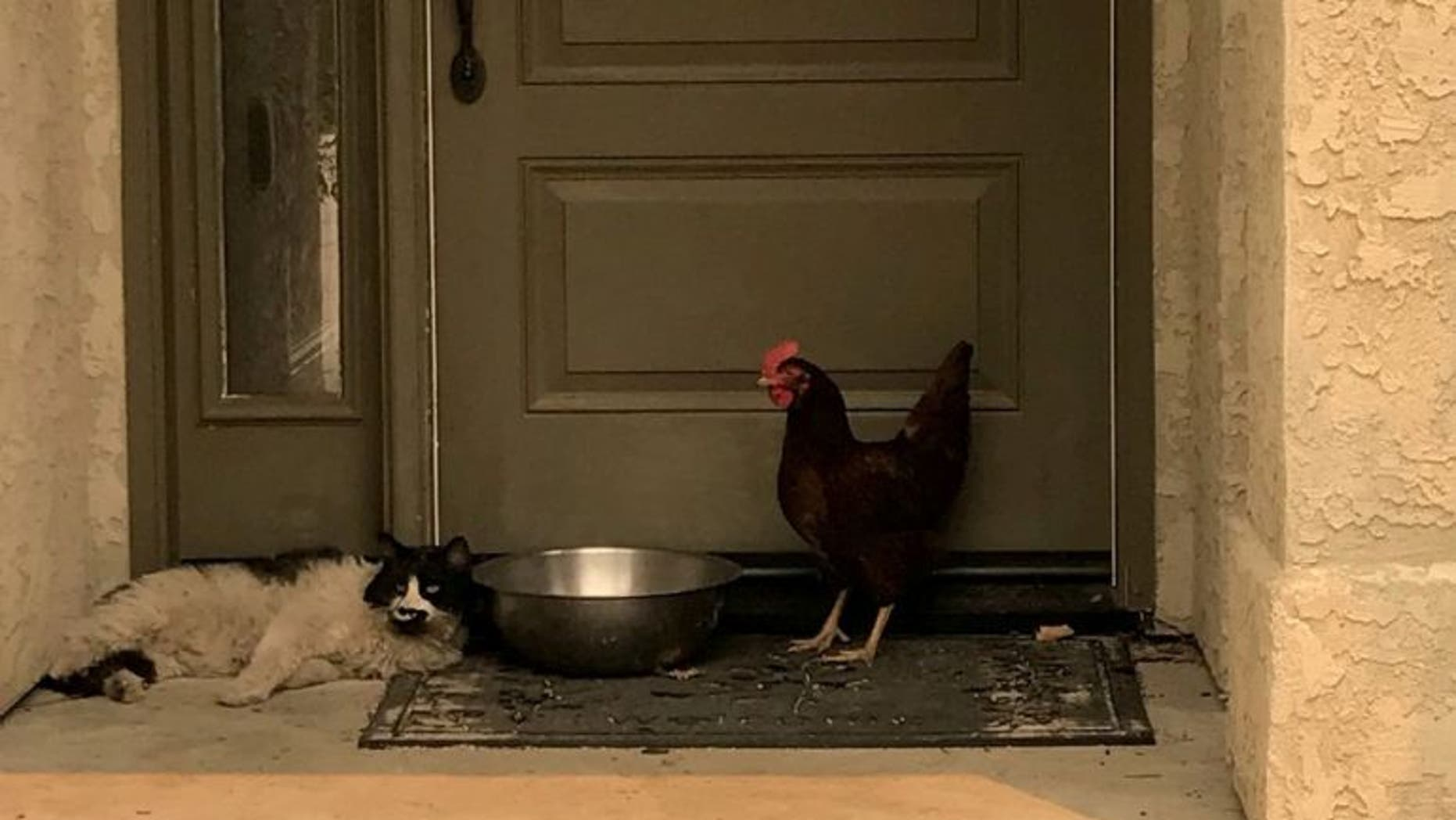 A chicken and a cat formed an unlikely bond while seeking shelter from the Carr Fire.