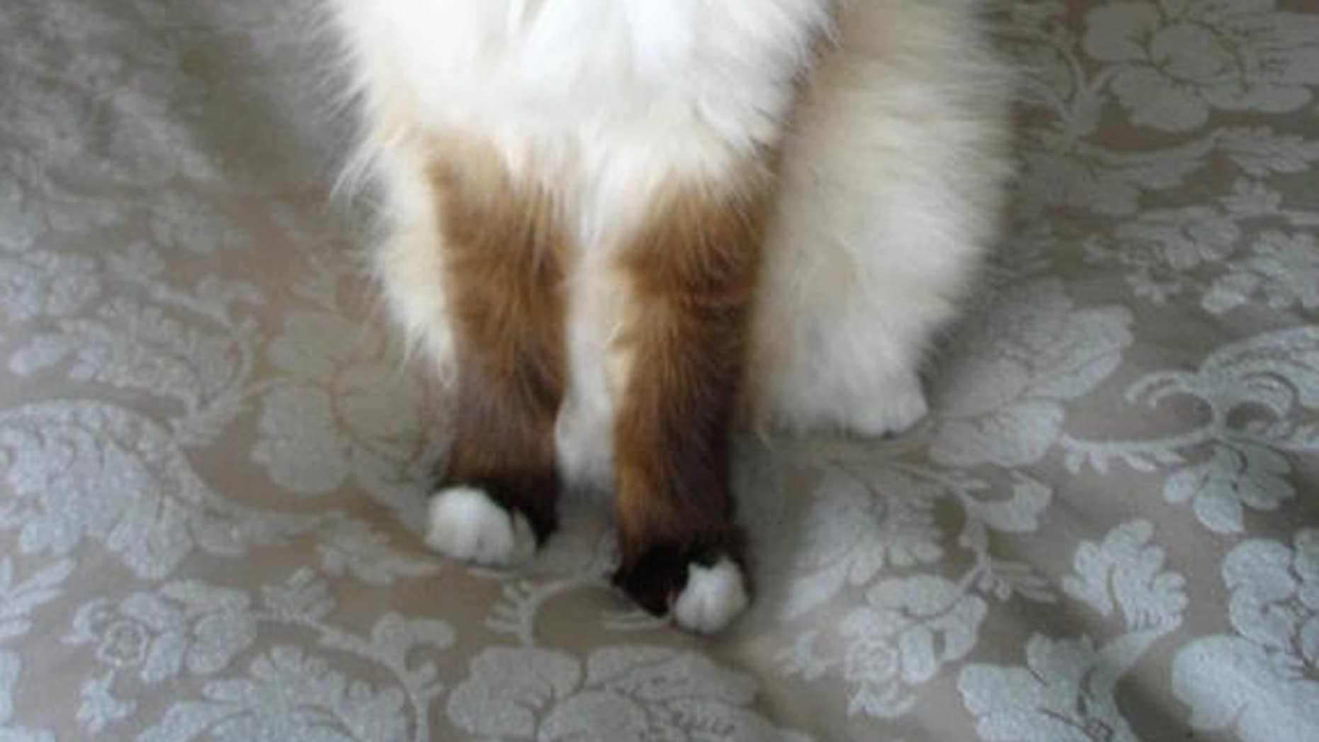 Kuching Mahal (which means 'cat expensive' in Indonesian), a 16-year-old Birman that experiences feline audiogenic reflex seizures.