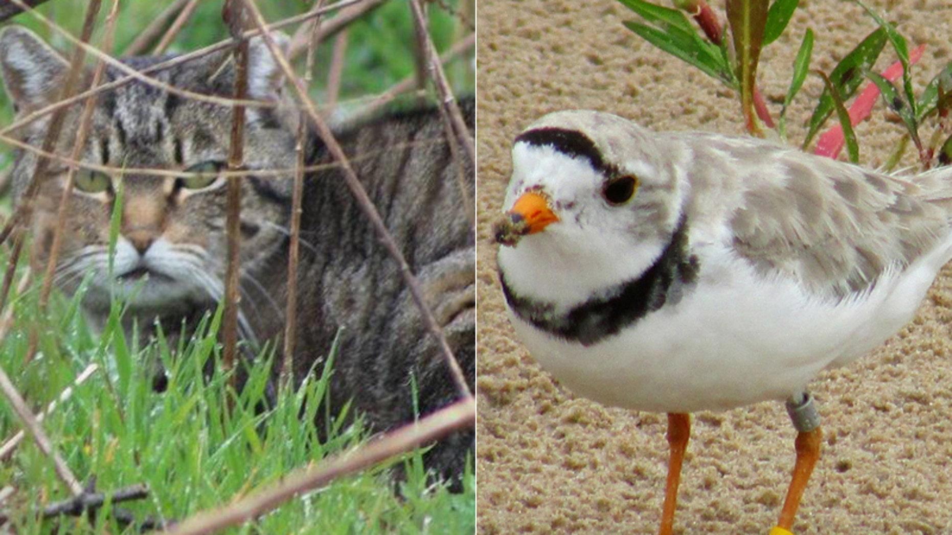 A battle is brewing on Long Island between feral cats and an endangered bird species.