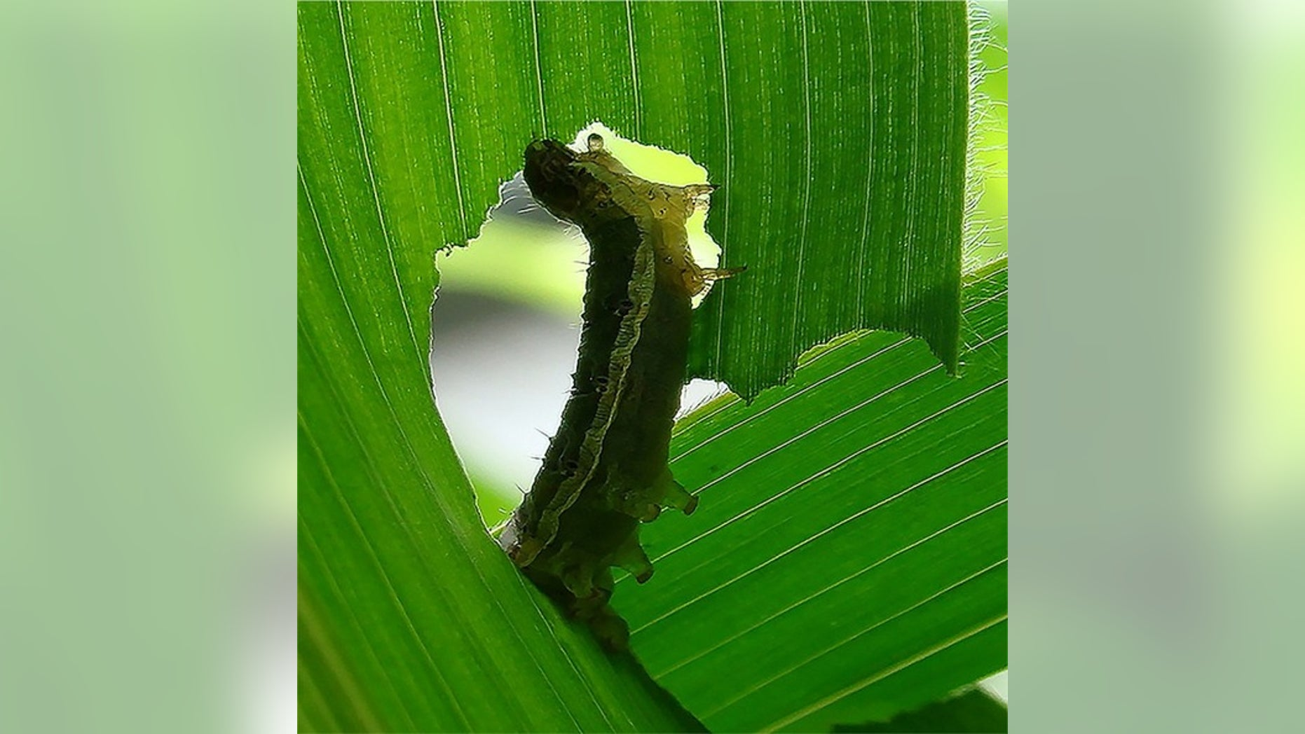 A caterpillar eating a corn leaf.