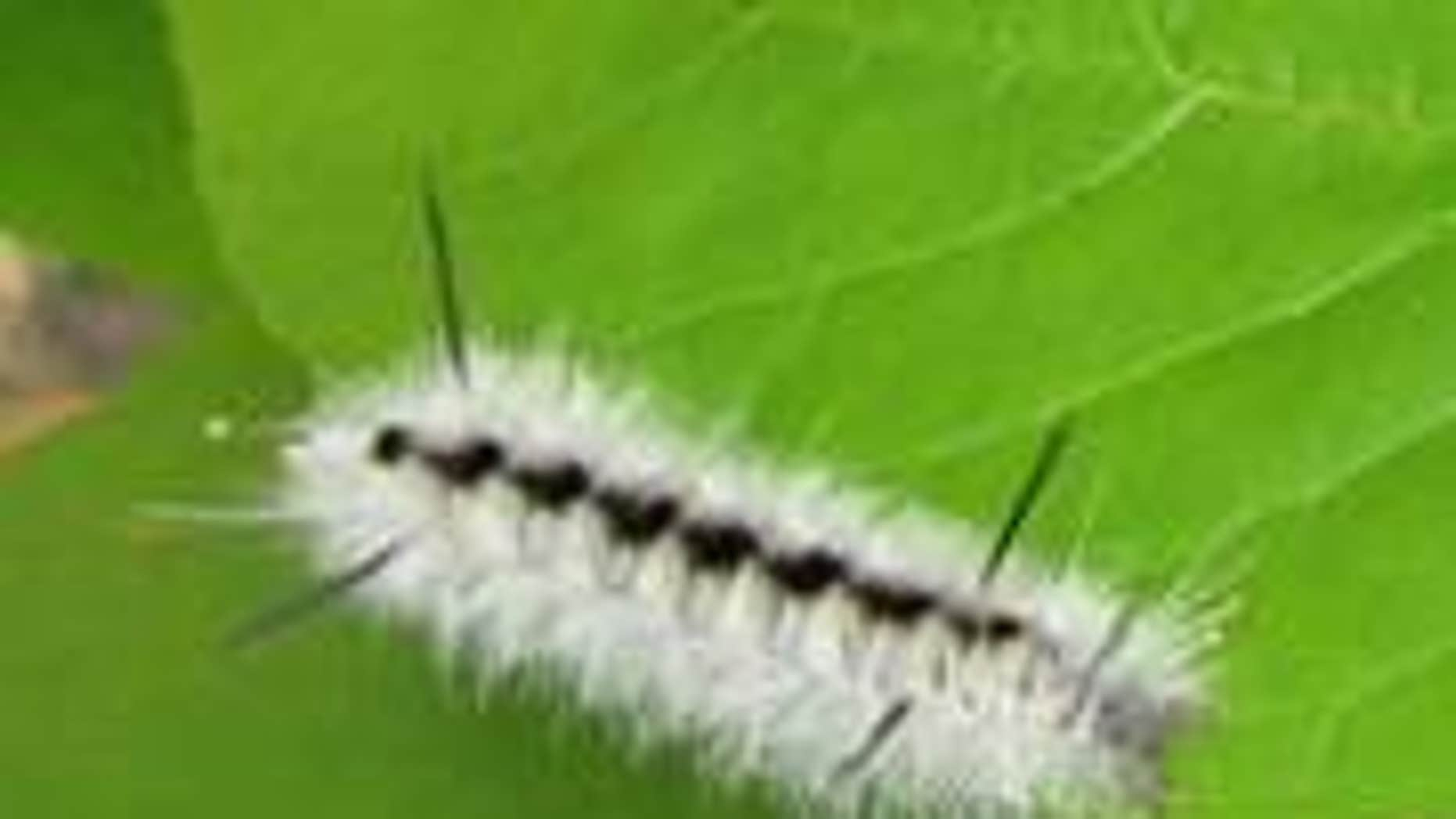 File photo - hickory tussock moth caterpillar (Maine Forest Service).