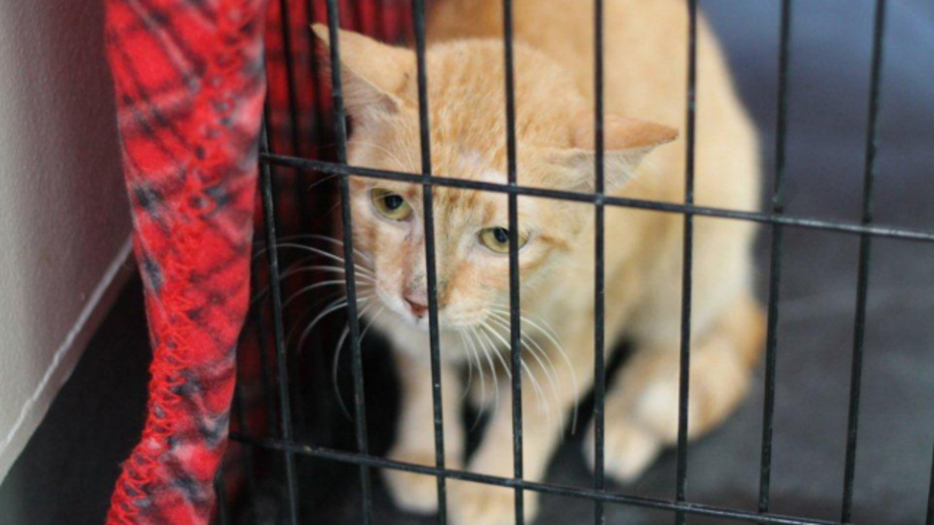 UNDATED: This photo provided by the County of Los Angeles Department of Animal Care and Control shows a 4-year-old cat that stowed away in a container ship headed from Manila, Philippines, to Los Angeles.