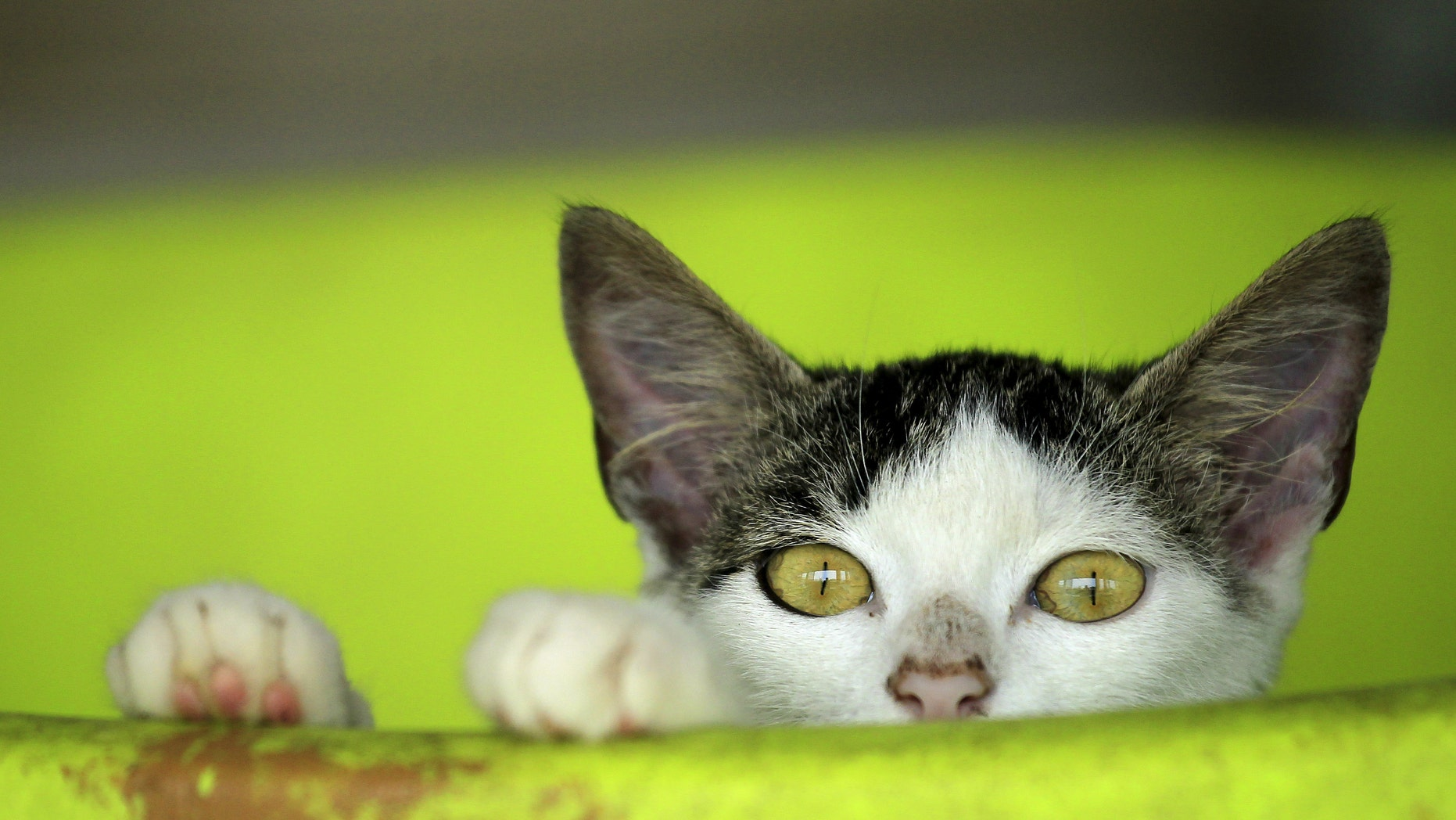 File photo - A rescued cat is pictured at the Animal Rescue Asis in San Rafael de Heredia May 21, 2015. (REUTERS/Juan Carlos Ulate)