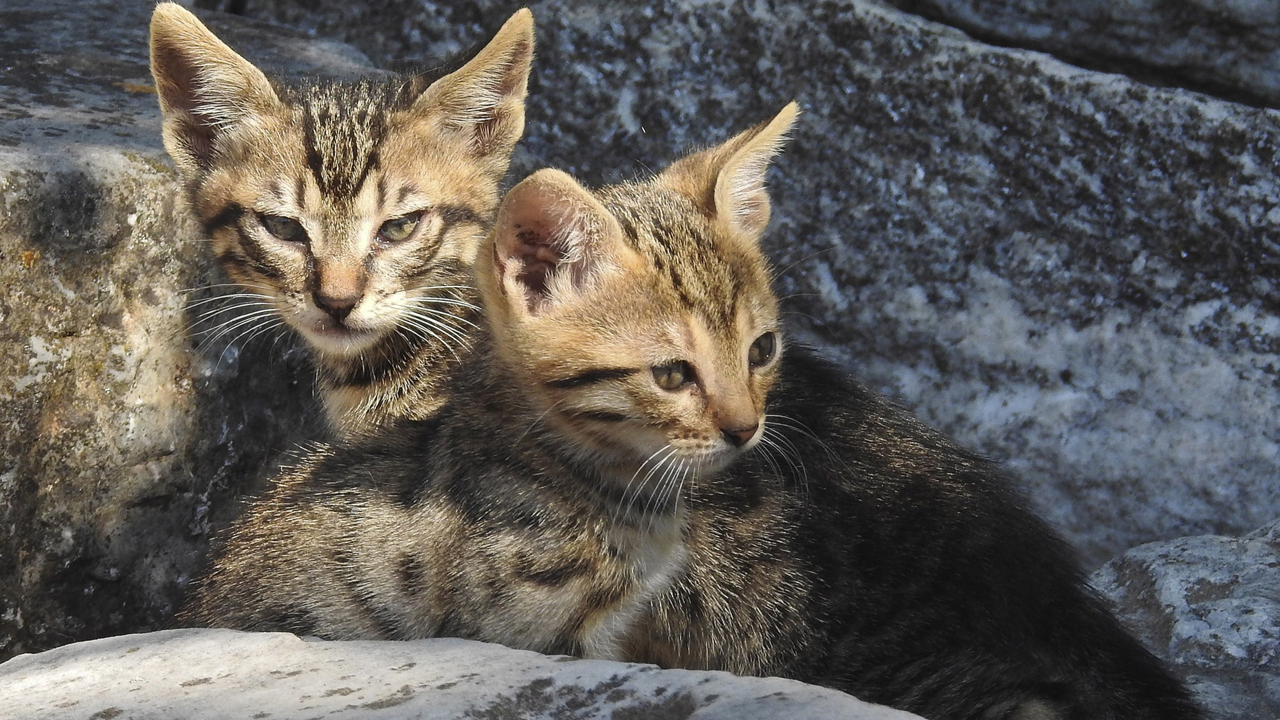 Australia is being over run by cats that are murdering 1 million birds every day. Two kittens lie in the ruins of the ancient Agora in Athens June 20, 2015. (REUTERS/Paul Hanna)