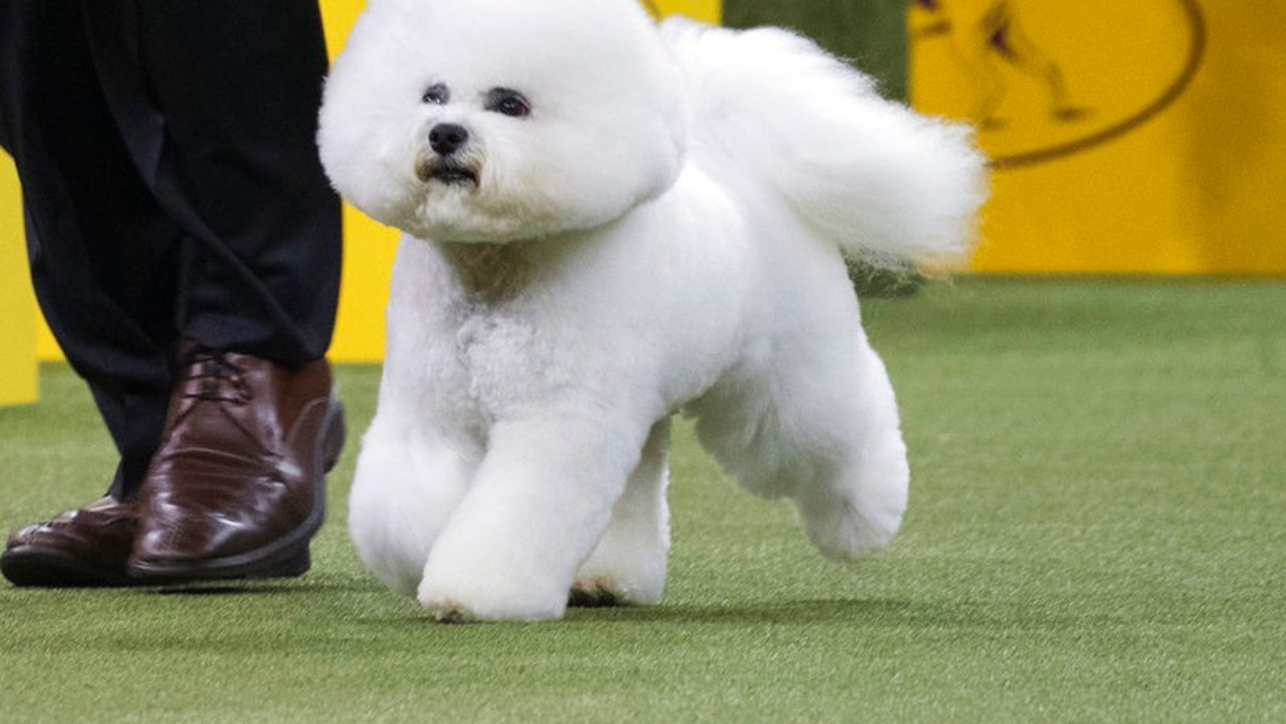 Bill McFadden shows Flynn, a bichon frise, in the ring during the non-sporting group during the 142nd Westminster Kennel Club Dog Show, Monday, Feb. 12, 2018, at Madison Square Garden in New York. Flynn won best in the non-sporting group.