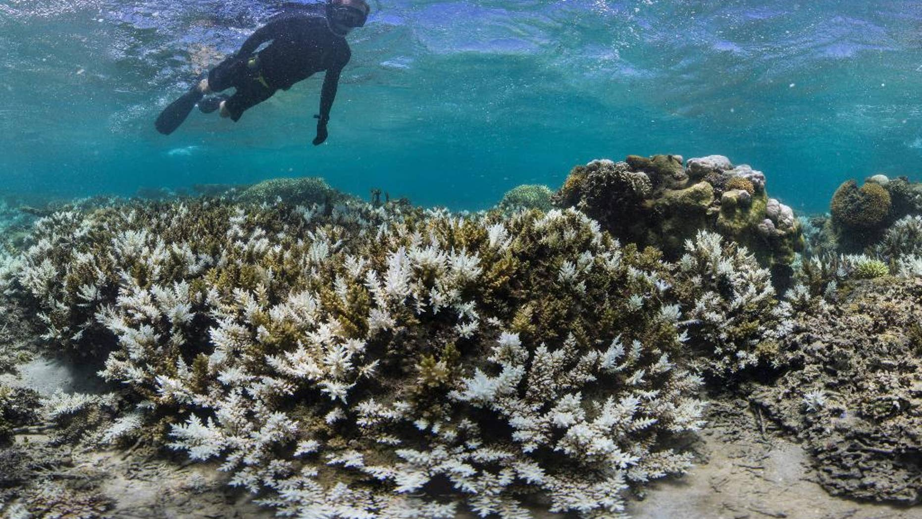 In this March 2016 photo released by The Ocean Agency/Reef Explorer Fiji, a snorkeler swims above coral that has bleached white due to heat stress in Fiji. (Victor Bonito/The Ocean Agency /Reef Explorer Fiji via AP)
