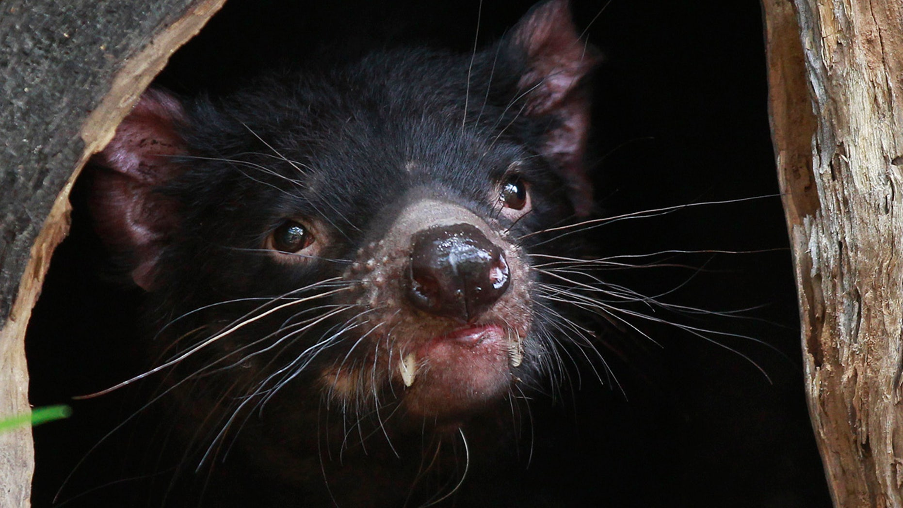 A Tasmanian Devil looks out at its new enclosure at Wild Life Zoo in central Sydney December 21, 2012.