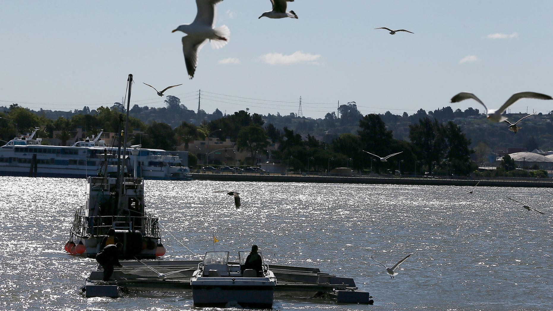 VALLEJO, CA - APRIL 22:  Workers with the Fishery Foundation of California move a barge filled with thousands of fingerling Chinook salmon that will be released into the Mare Island Strait on April 22, 2014 in Vallejo, California. As California continues to suffer through its worse drought in history, low water levels on the state's rivers have forced wildlife officials to truck an estimated 30 million young Chinook salmon hundreds of miles toward the Pacific Ocean in tanker trucks lto assist the fish with migration.  (Photo by Justin Sullivan/Getty Images)