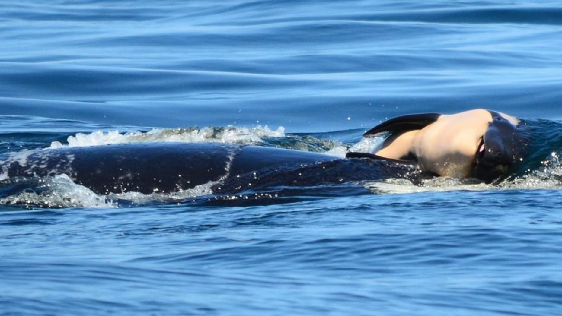 In this photo taken Tuesday, July 24, 2018, provided by the Center for Whale Research, a baby orca whale is being pushed by her mother after being born off the Canada coast near Victoria, British Columbia.