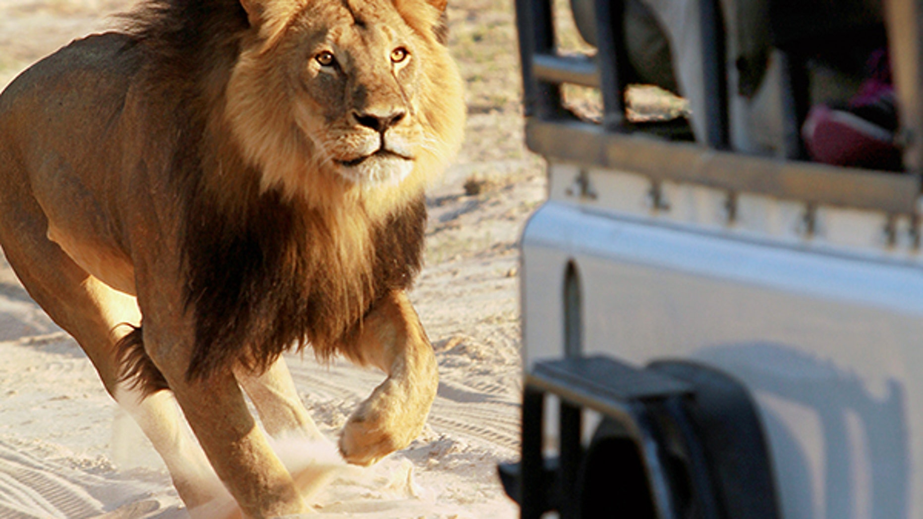 Iconic lion Cecil, seen here, was killed two years ago; his son died on Thursday.