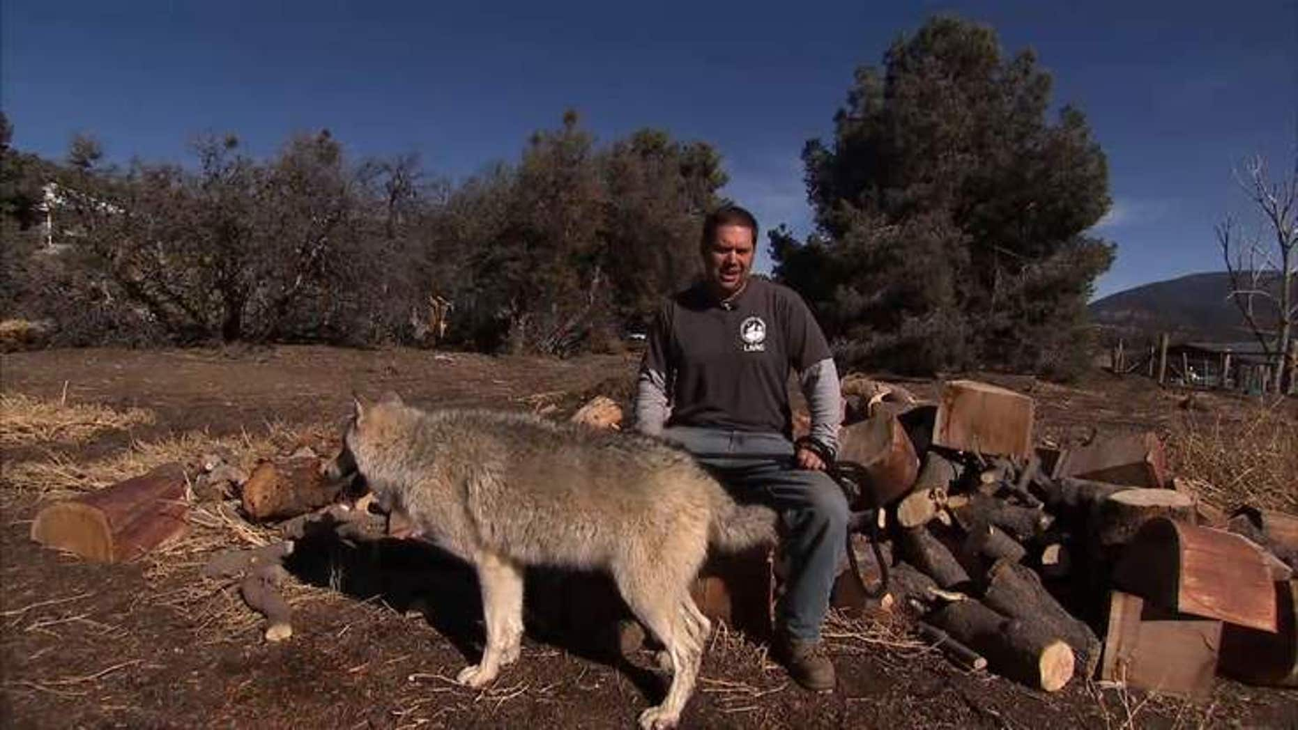 Wolves help military veterans suffering from post-traumatic stress disorder. (Sky News)
