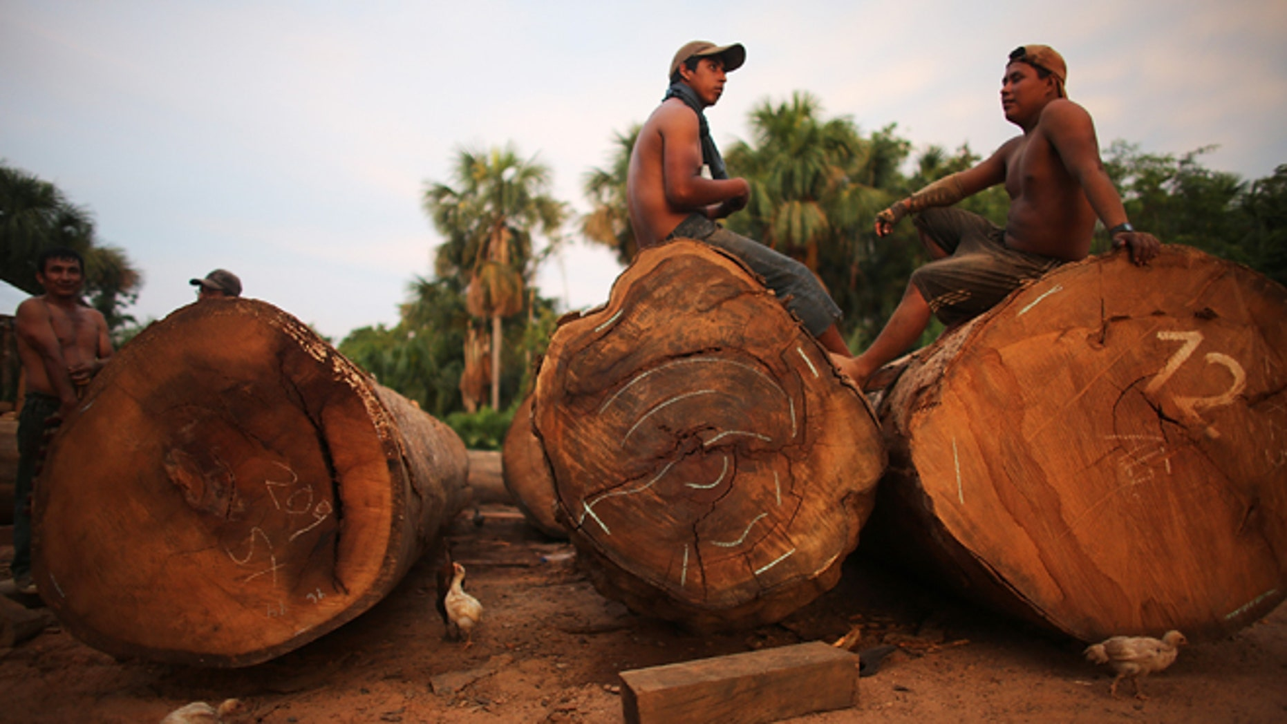 MADRE DE DIOS REGION, PERU - NOVEMBER 16:  Loggers sit on felled trees in a deforested section along the Interoceanic Highway in the Amazon lowlands on November 16, 2013 in Madre de Dios region, Peru. The biologically diverse Madre de Dios ('Mother of God') region has seen deforestation from gold mining in the area triple since 2008, when gold prices spiked during global economic turmoil. In addition, deforestation along the recently constructed highway has occurred due to logging and farming as the highway has opened access to previously remote areas. (Photo by Mario Tama/Getty Images)